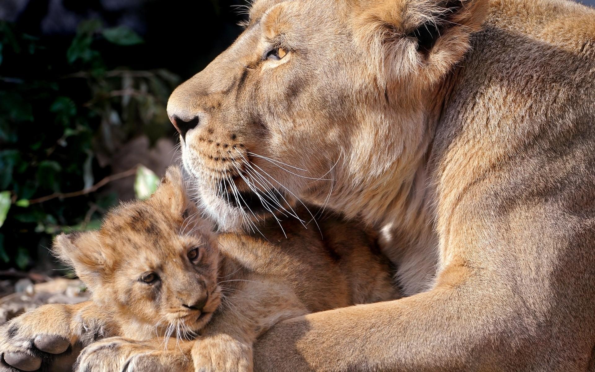 Львица с львятами загрузить
