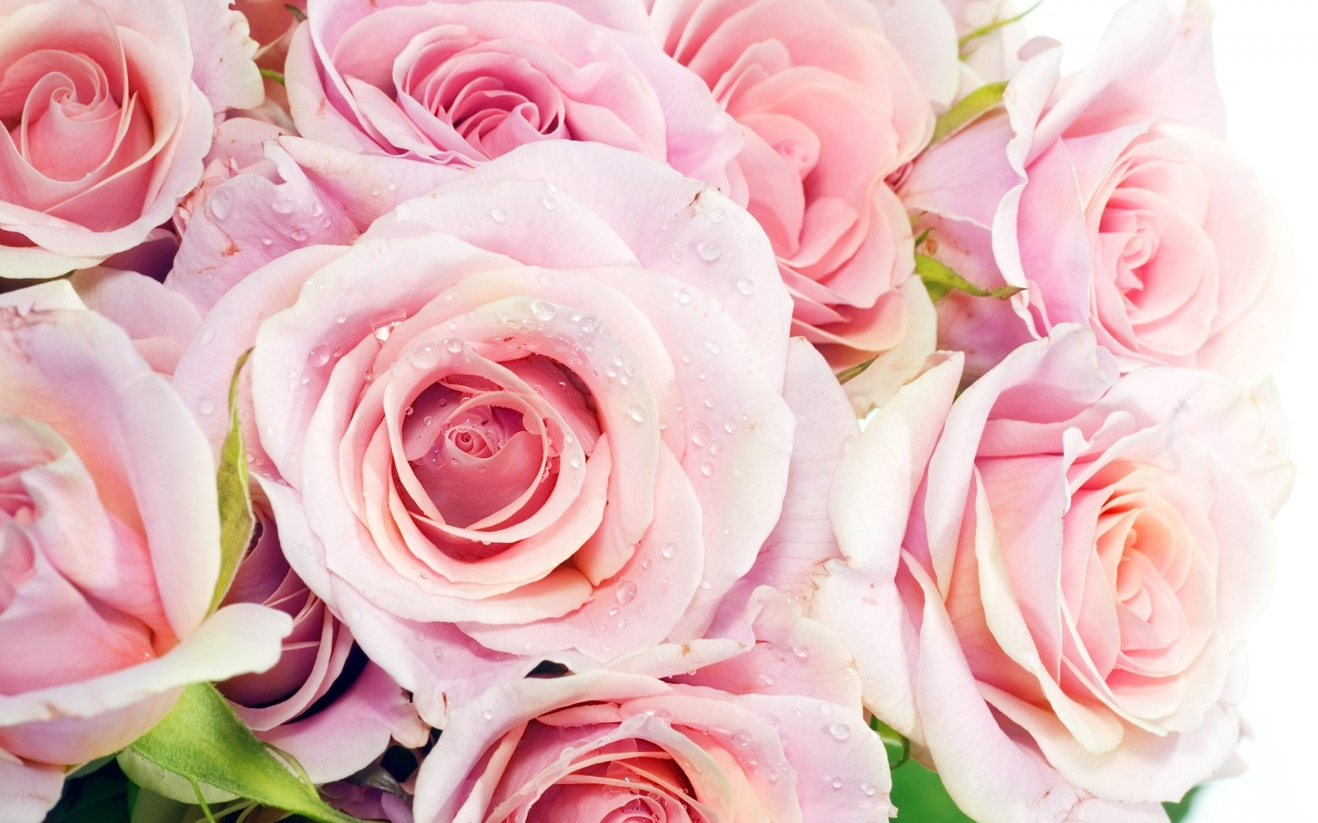 отец картинка на рабочий стол розы нежные ценный сорт древесины