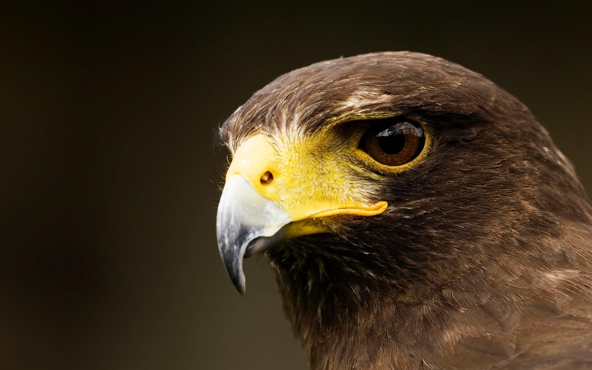Фото орла на телефон канон