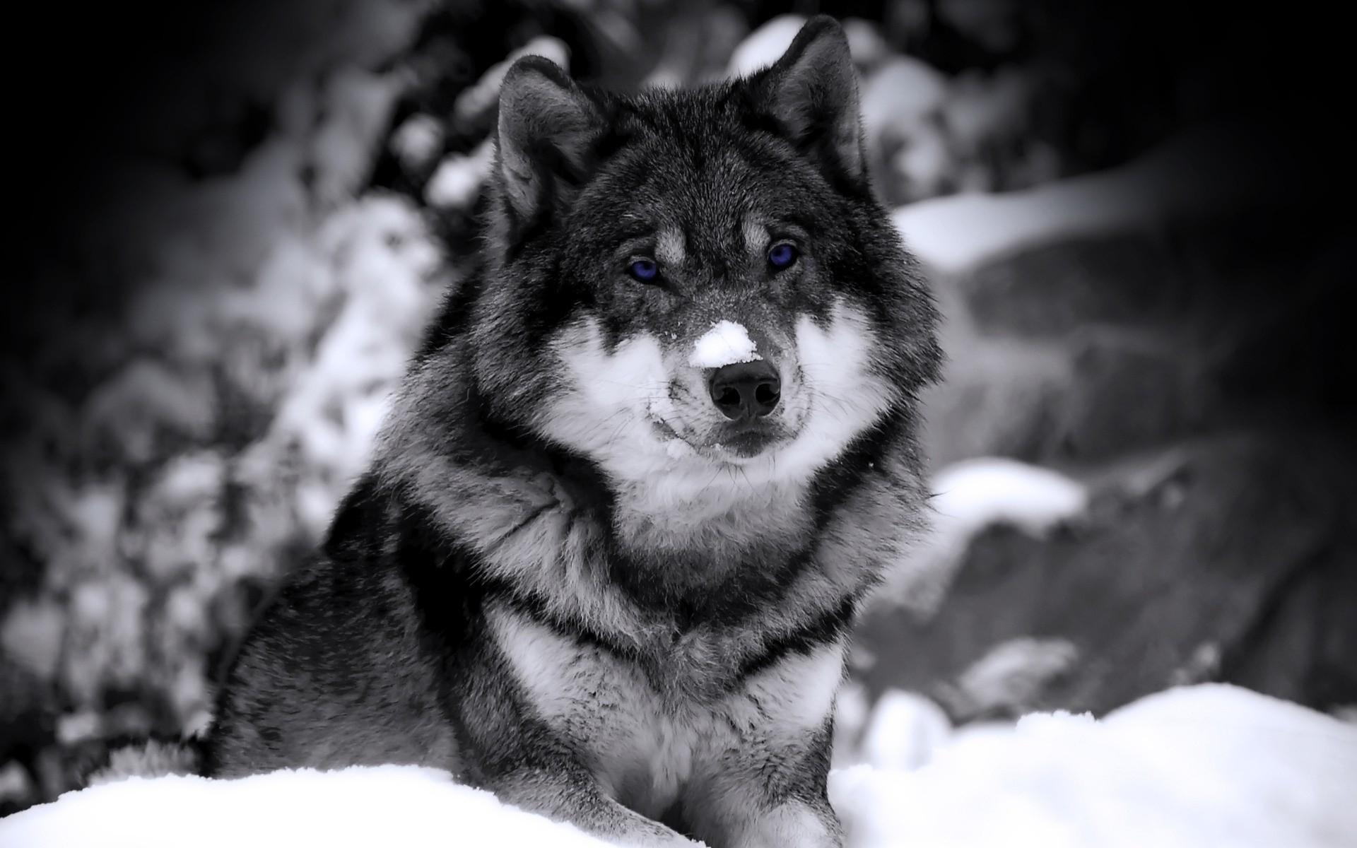 Картинки именем, картинка с надписью серый волк