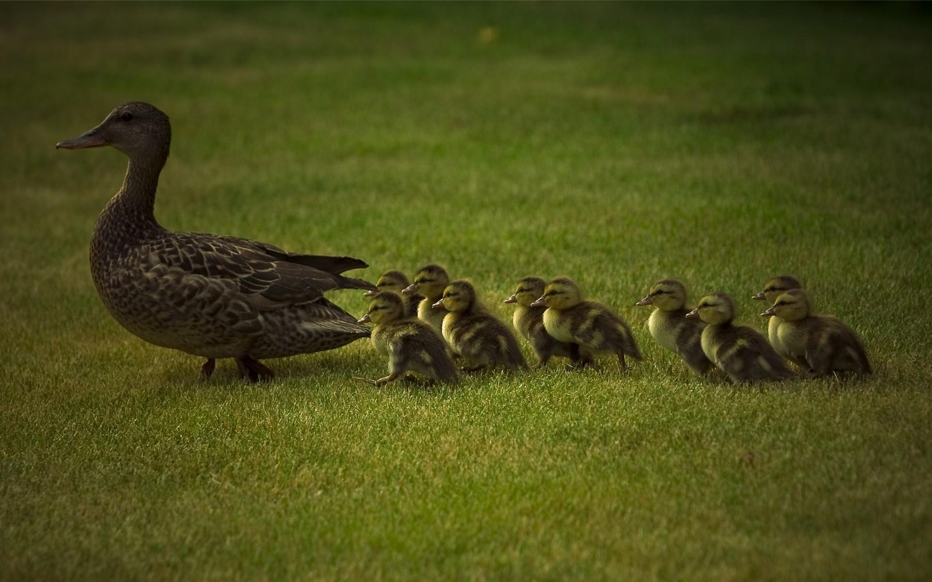 фото домашних птиц с детенышами любой вкус, тьотя