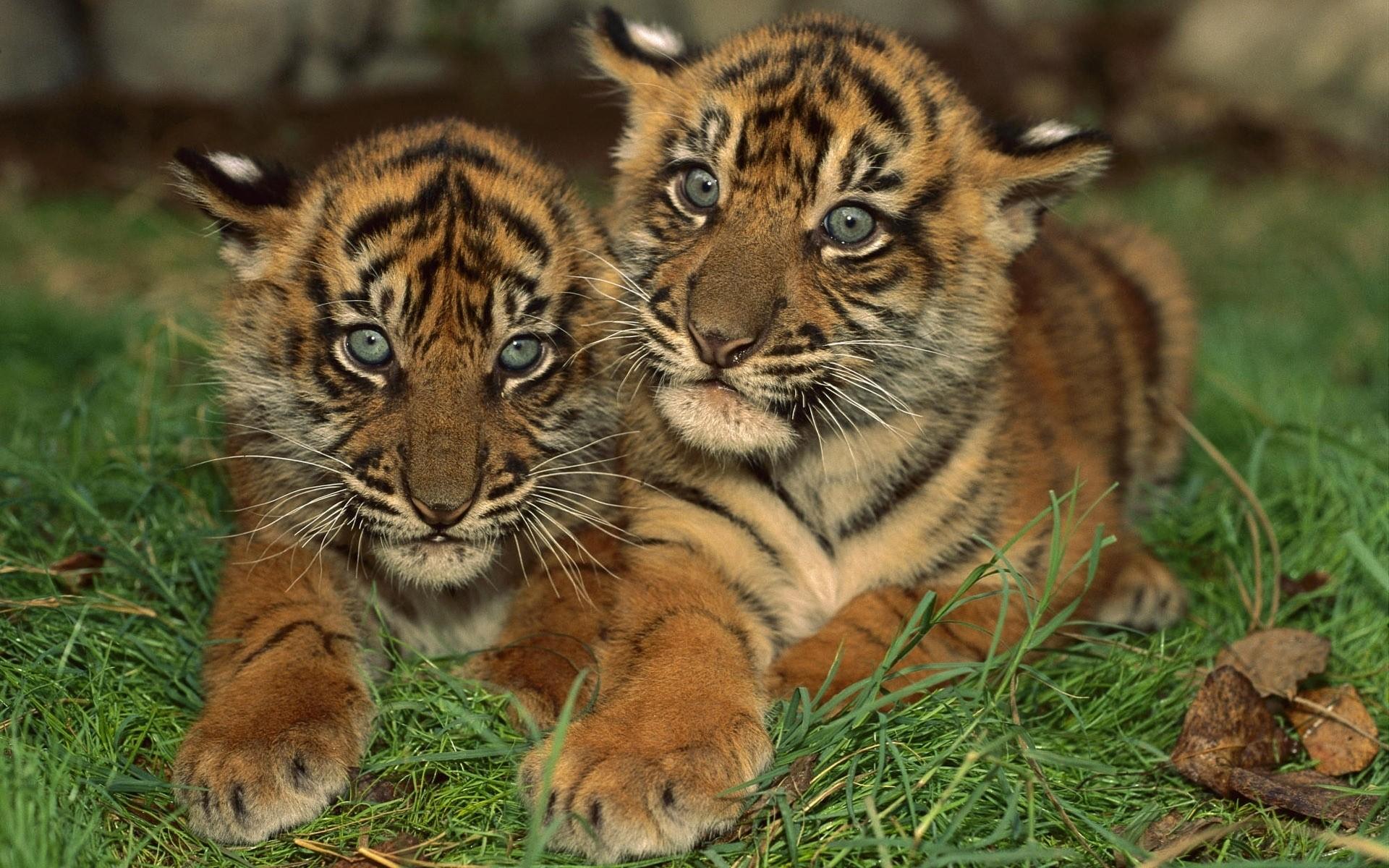 Надписью, тигр с тигрятами картинки