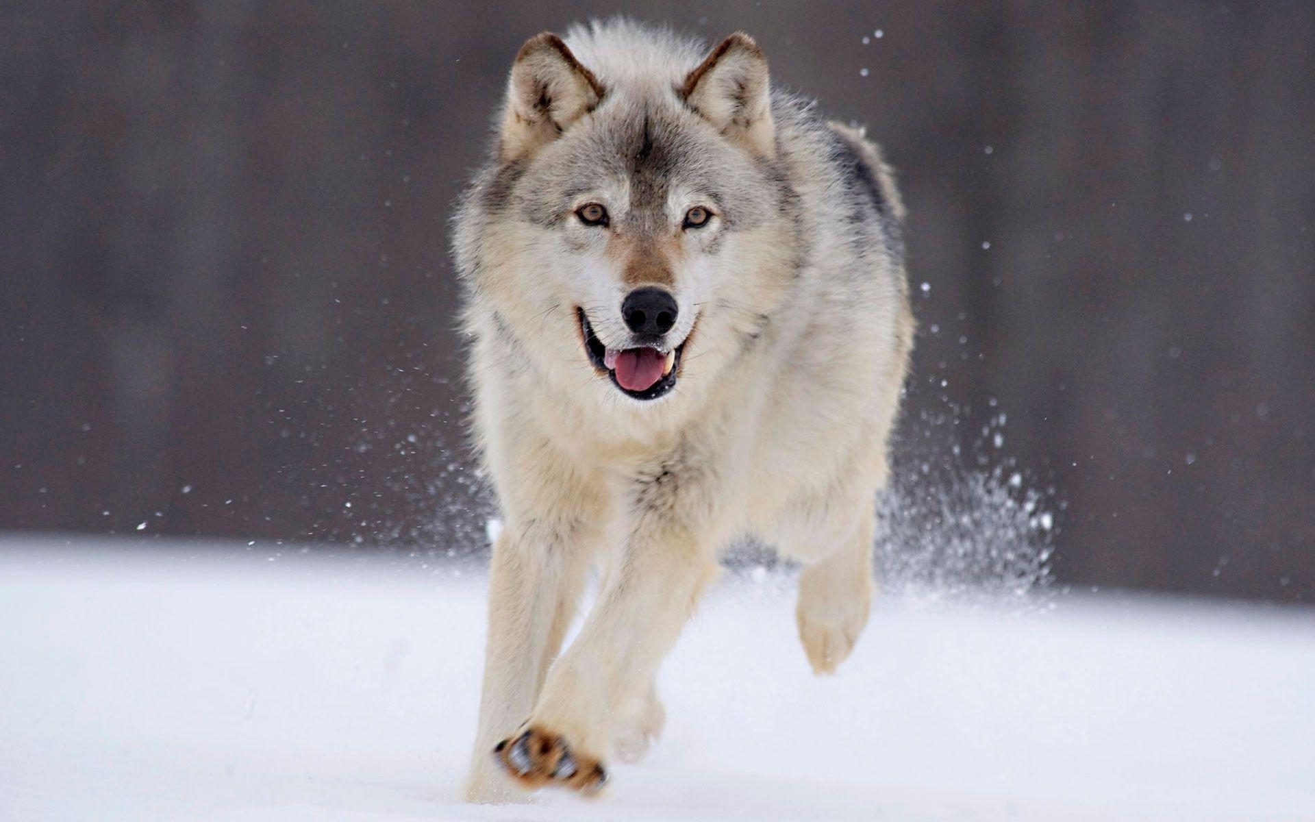 Giochi di lupi gratis