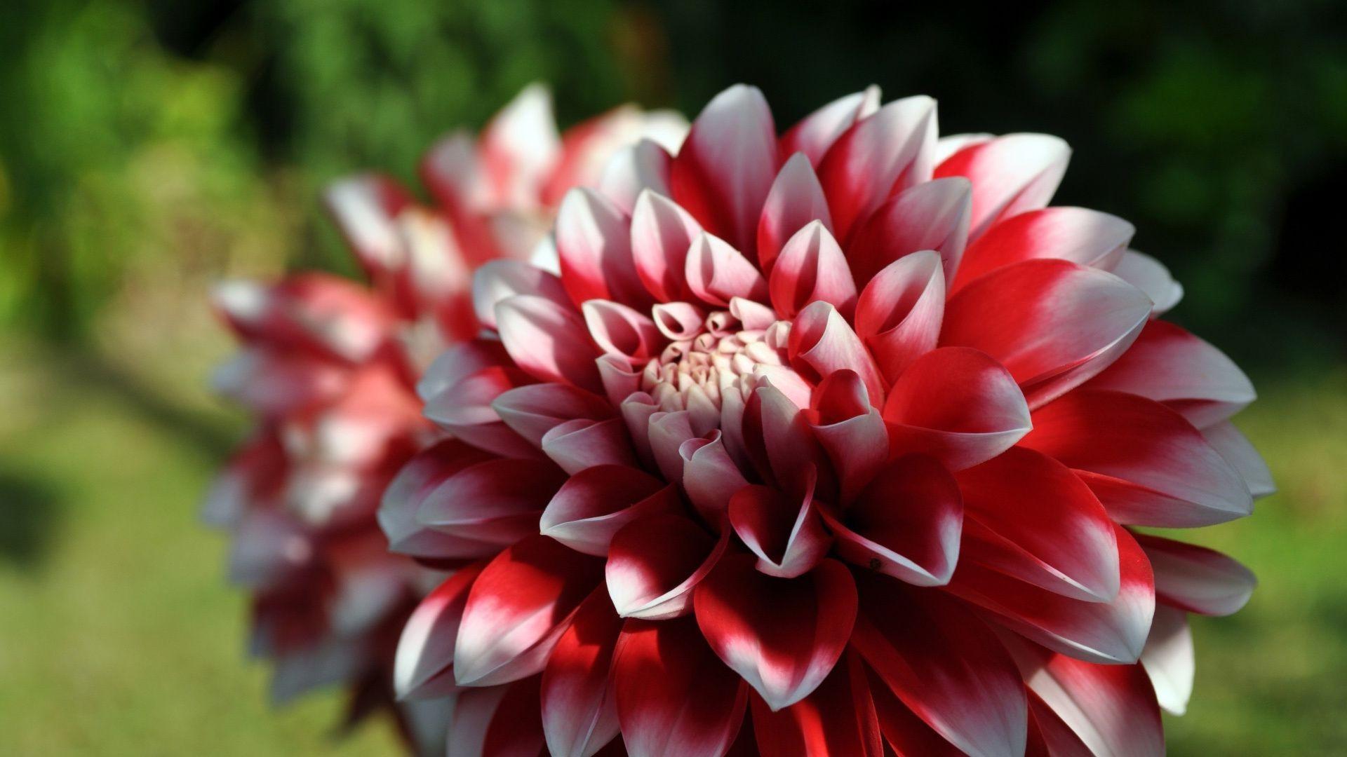 Красный цветок георгин загрузить