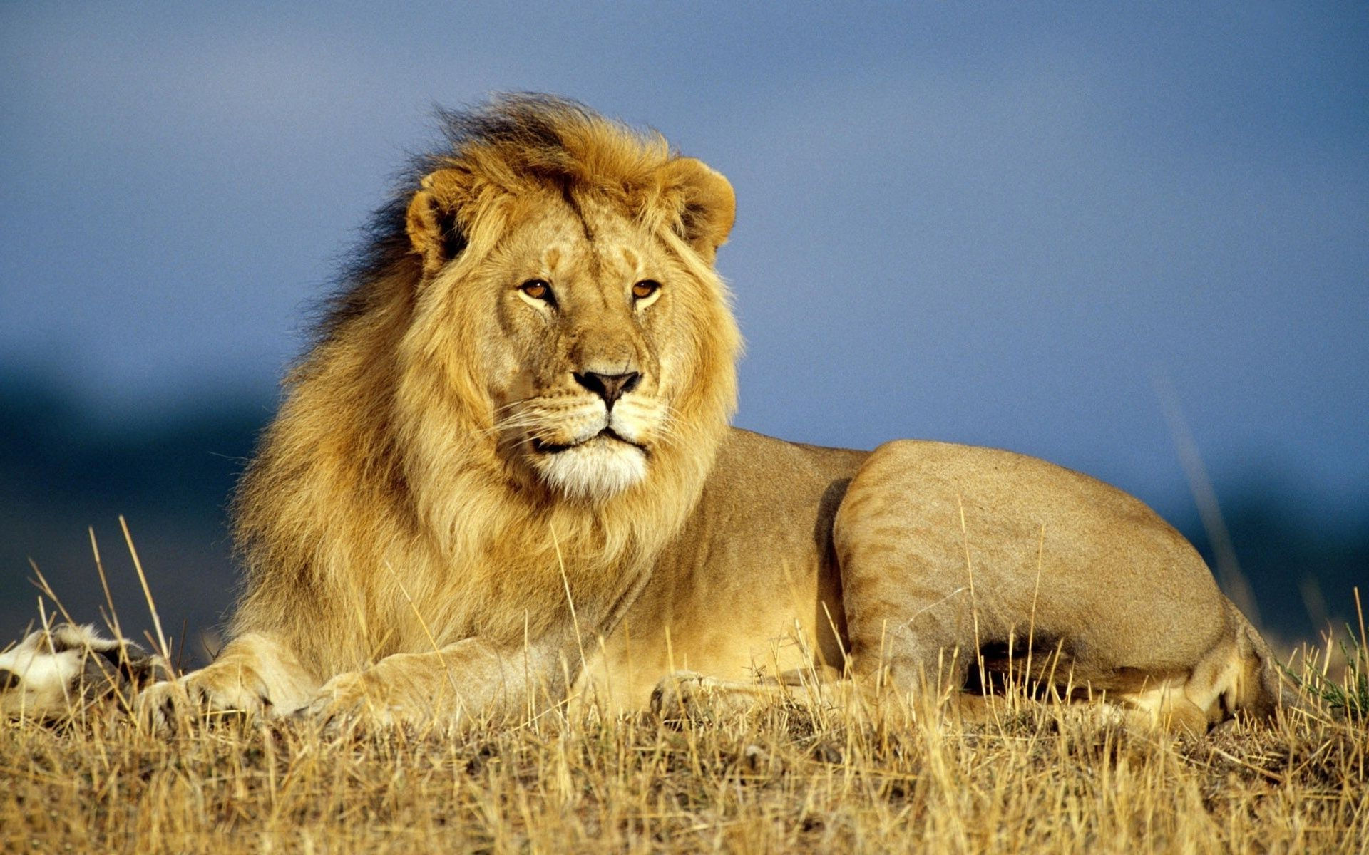 Lion in africa wallpaper