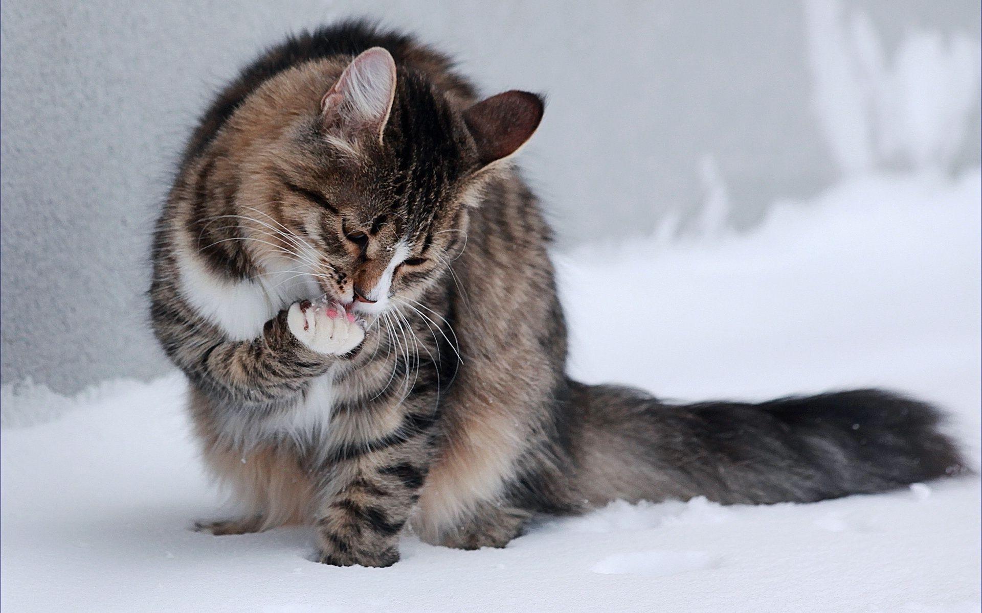 Кошечка лижет лапку на снегу - обои для рабочего стола.