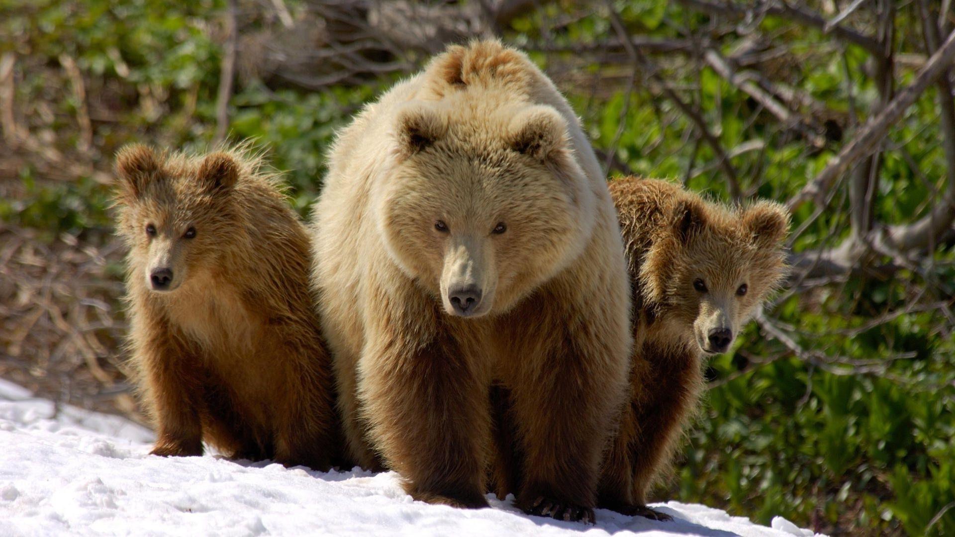 Медвежата бесплатно