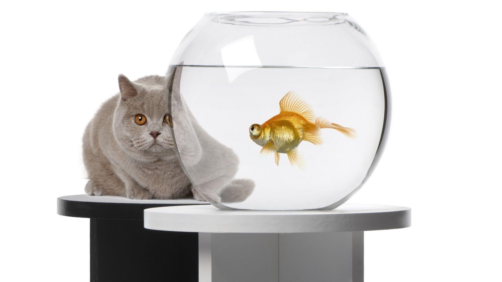 Серый кот смотрит на золотую рыбку в аквариуме - обои на ...