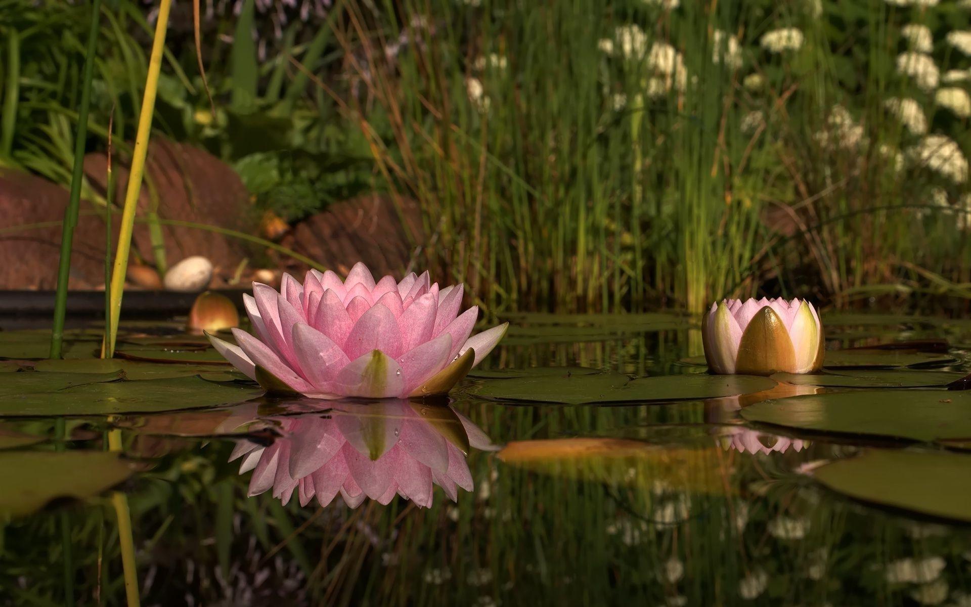 обои для рабочего стола цветы кувшинки № 631790 бесплатно