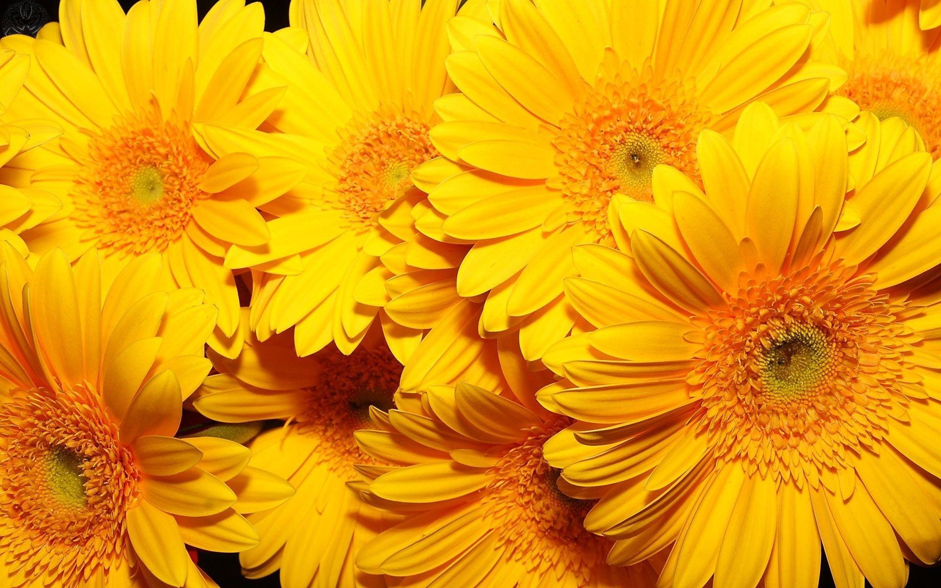 раньше фото на рабочий стол желтые цветы для хинкали используем