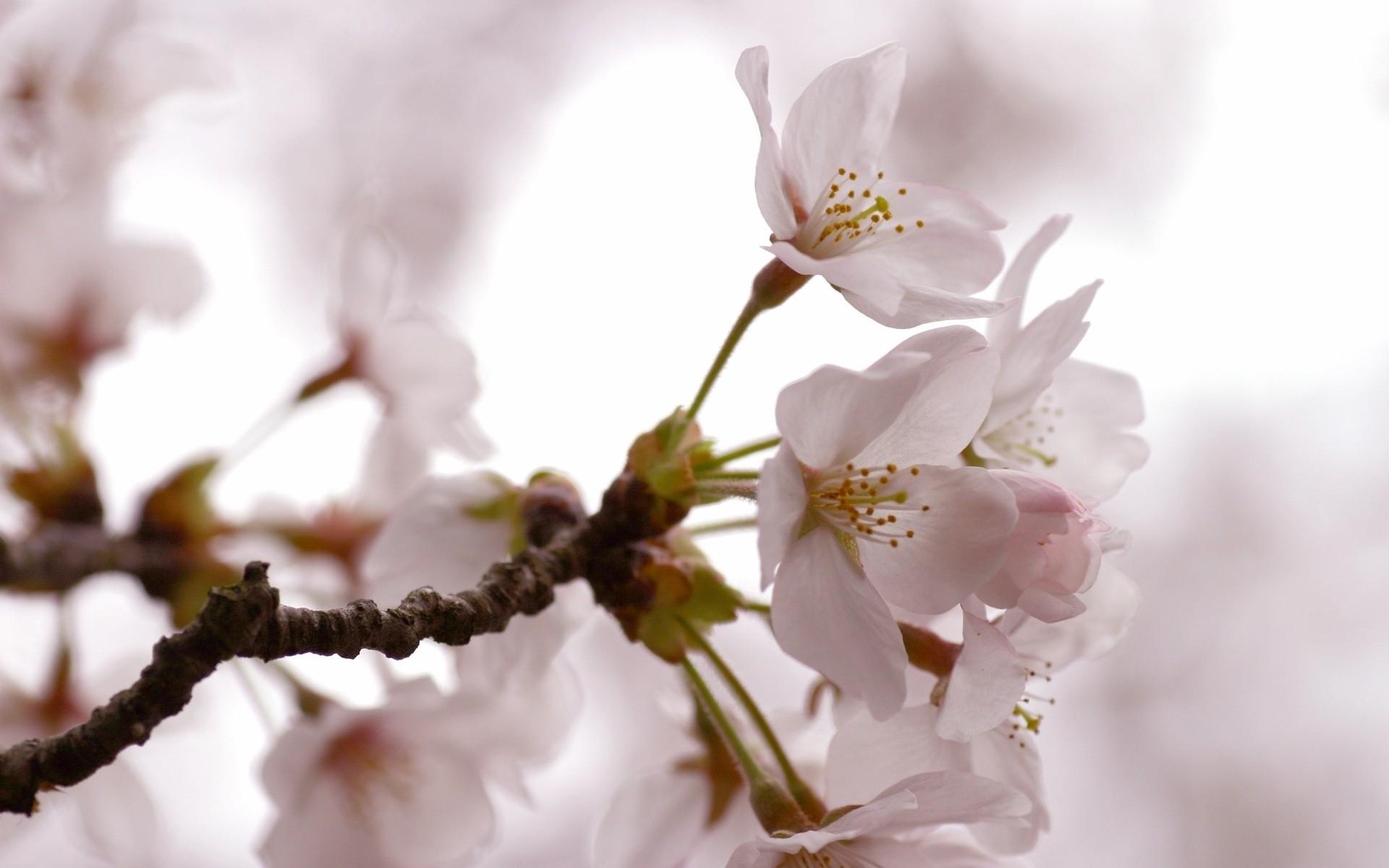 белый цветы природа ветка скачать