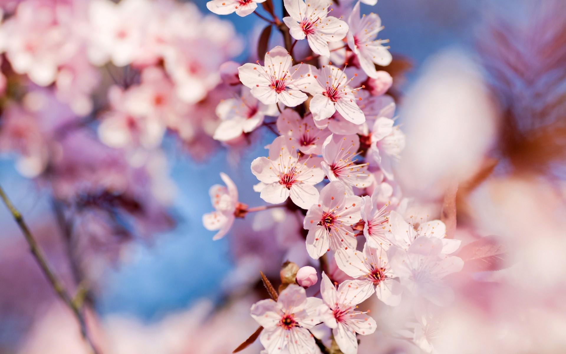 Днем рождения, картинки цветущая вишня для телефона