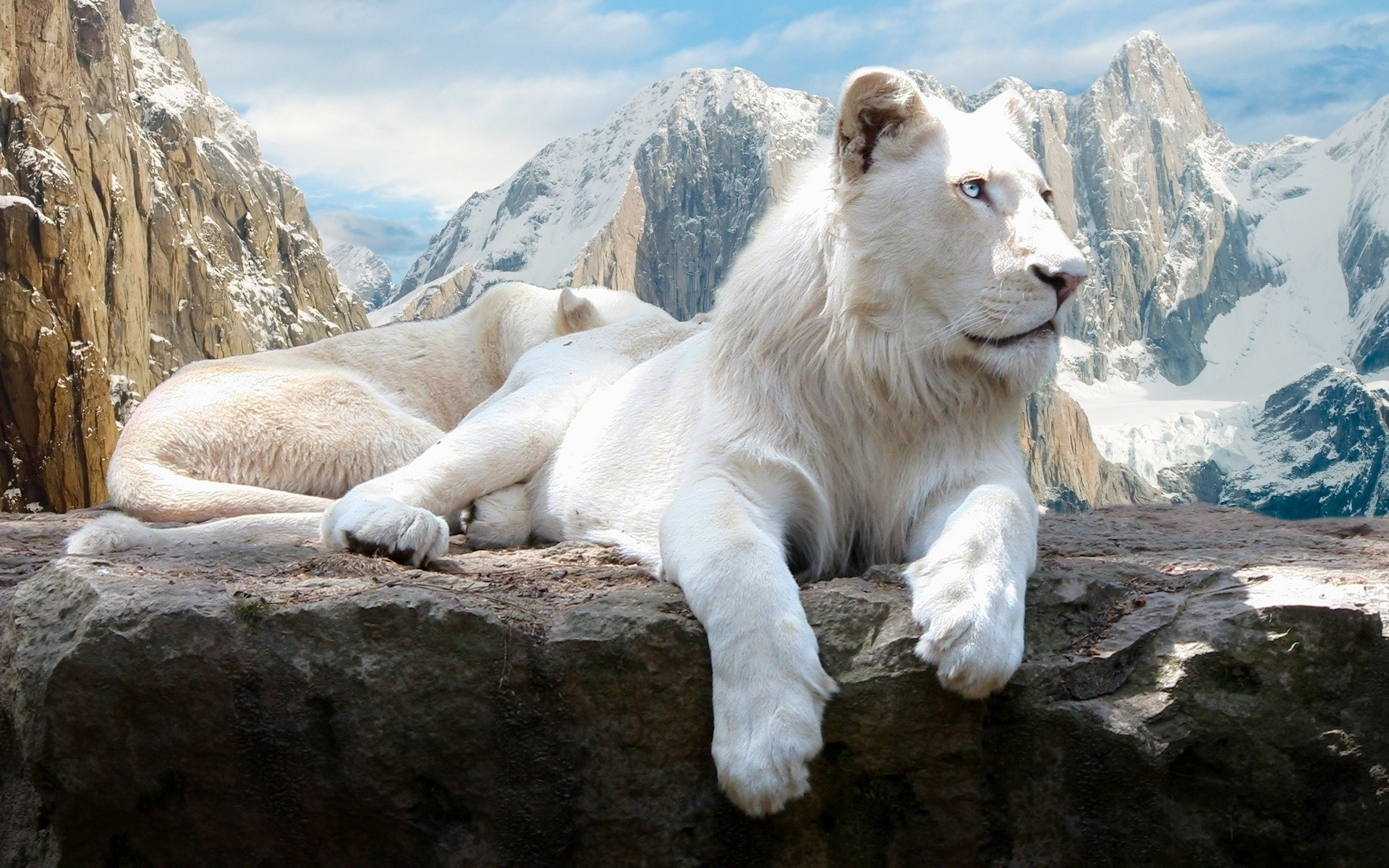 Картинка на рабочий стол с львами