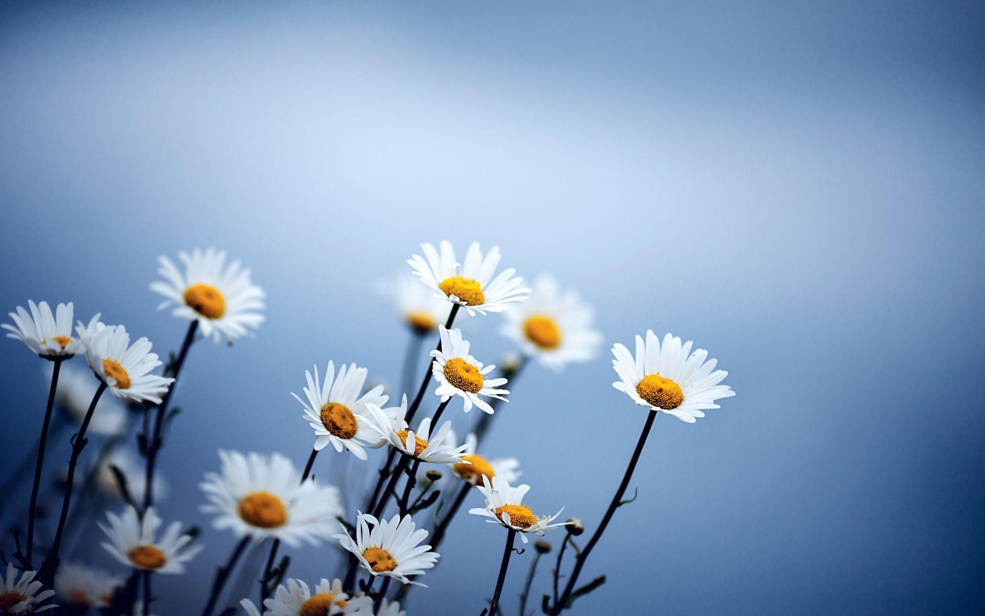 Бесплатно обои на рабочий стол полевые цветы скачать 9
