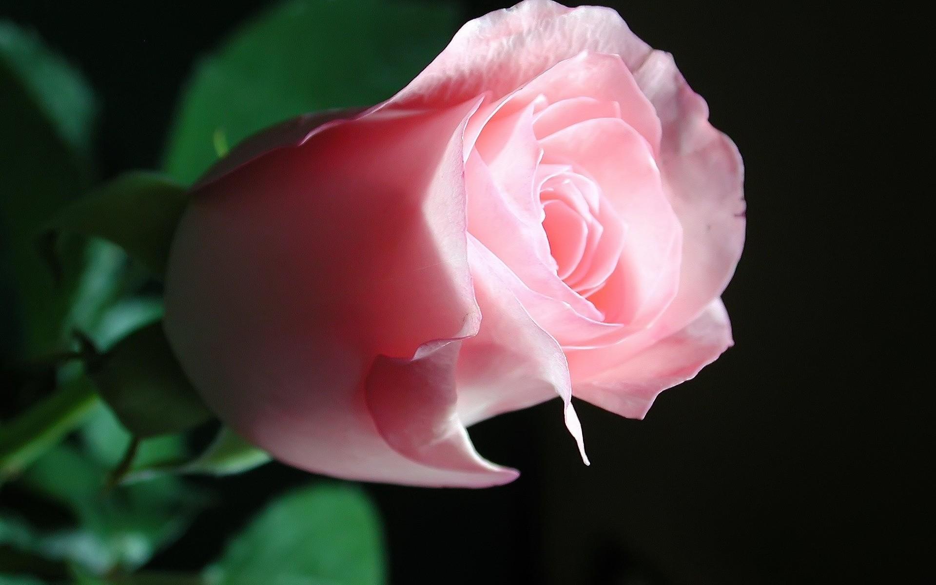 основное красивые картинки супер красивых роз приемов