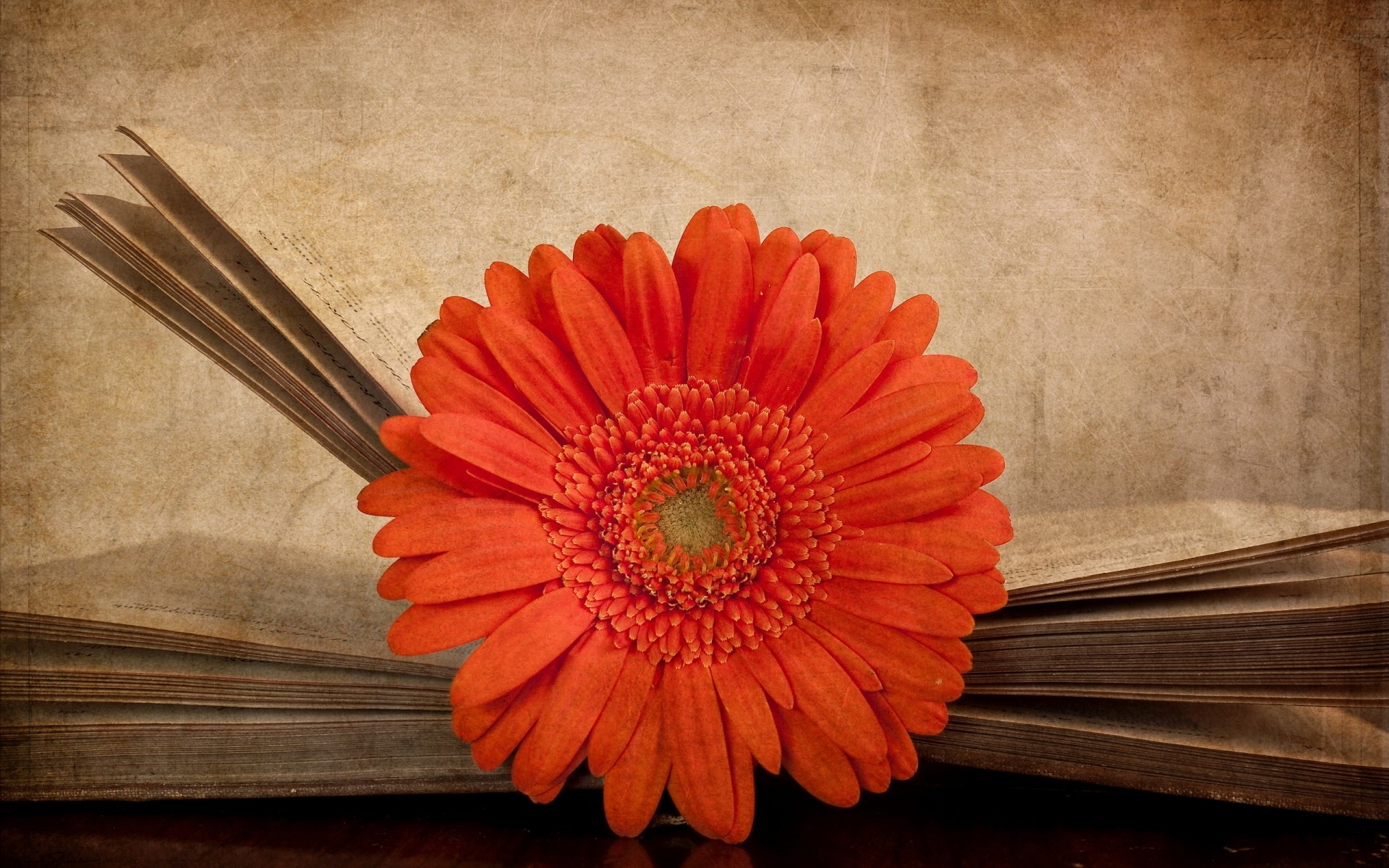 Картинки цветов гербер