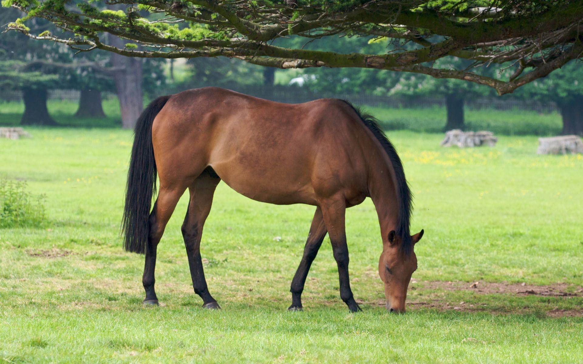 Ганноверская лошадь обои на рабочий стол