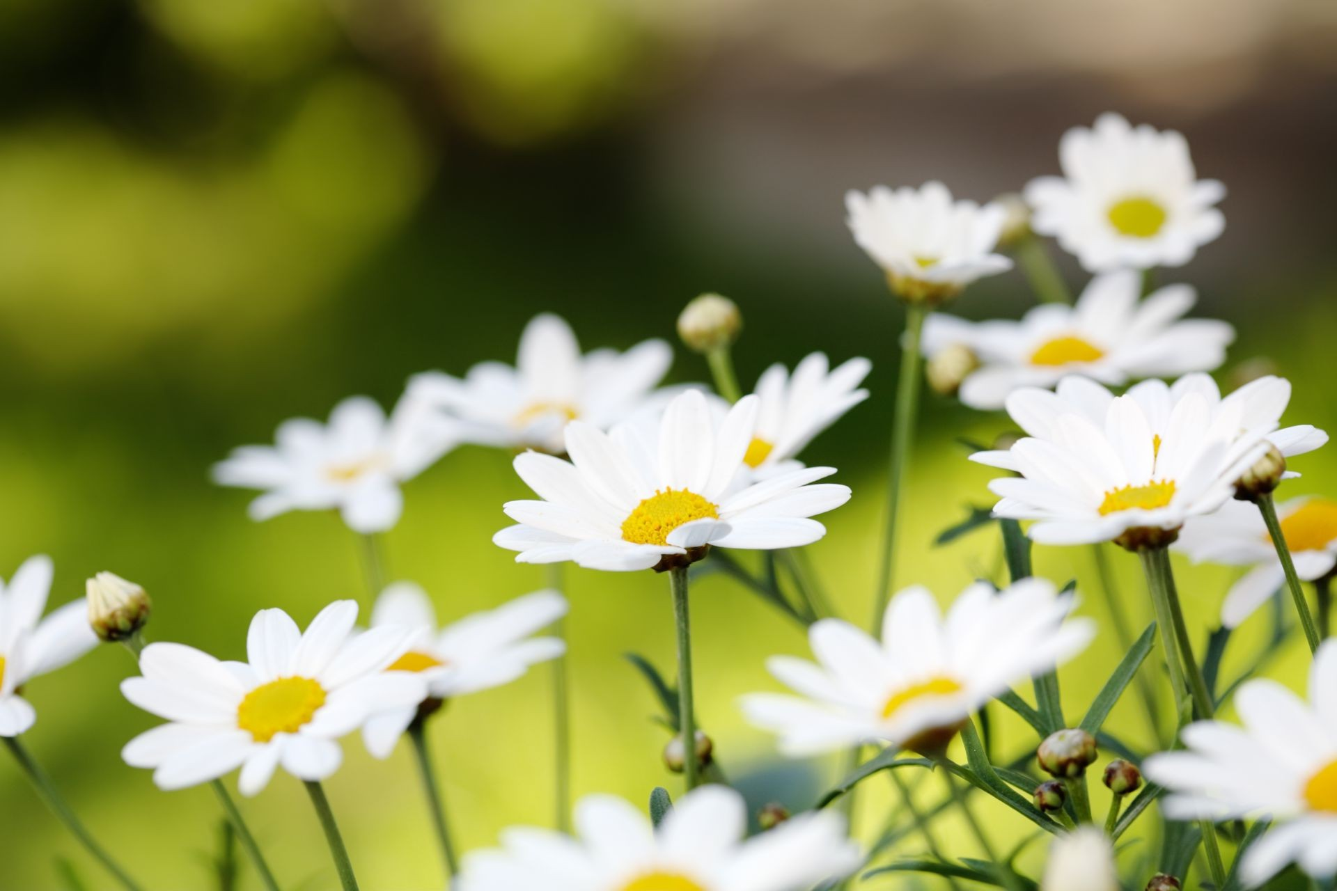 Картинки цветов ромашка