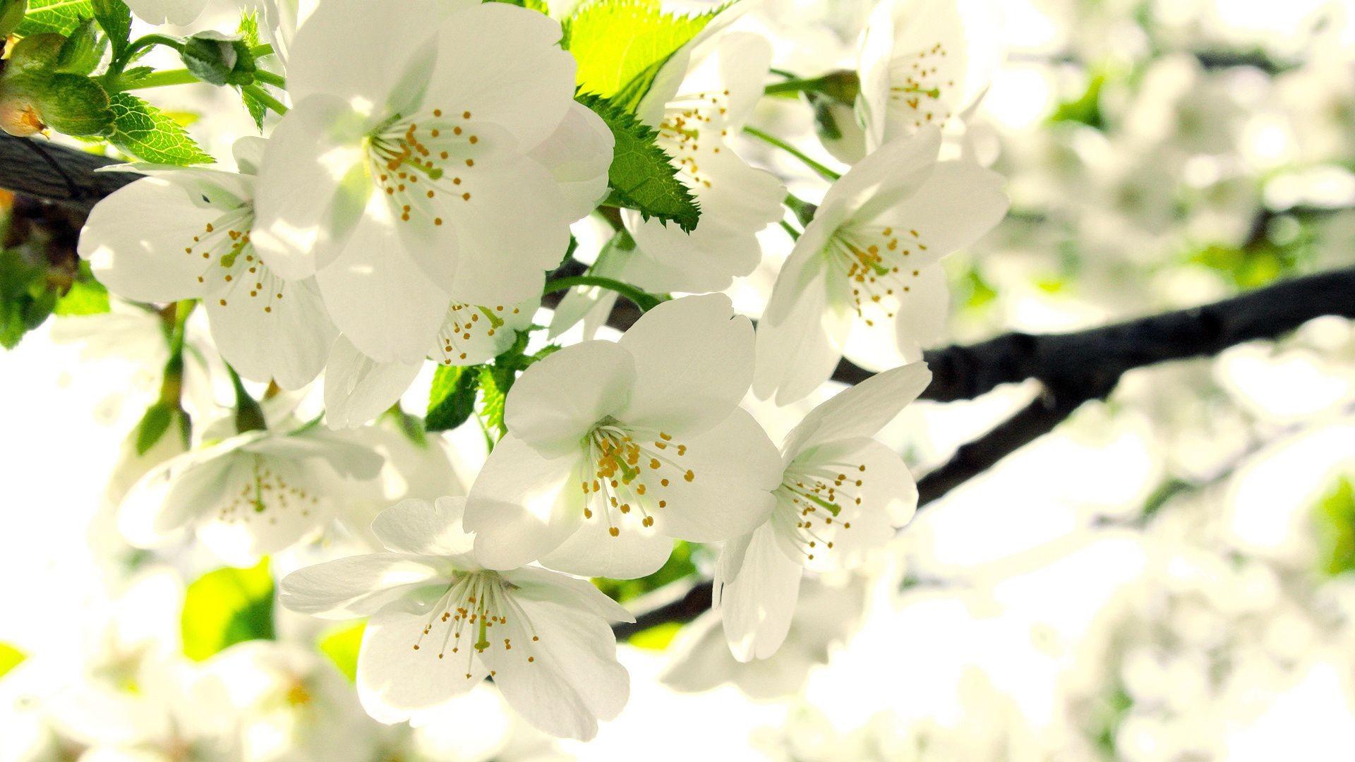 Весенние цветы картинки на рабочий стол на весь экран, милана добрым