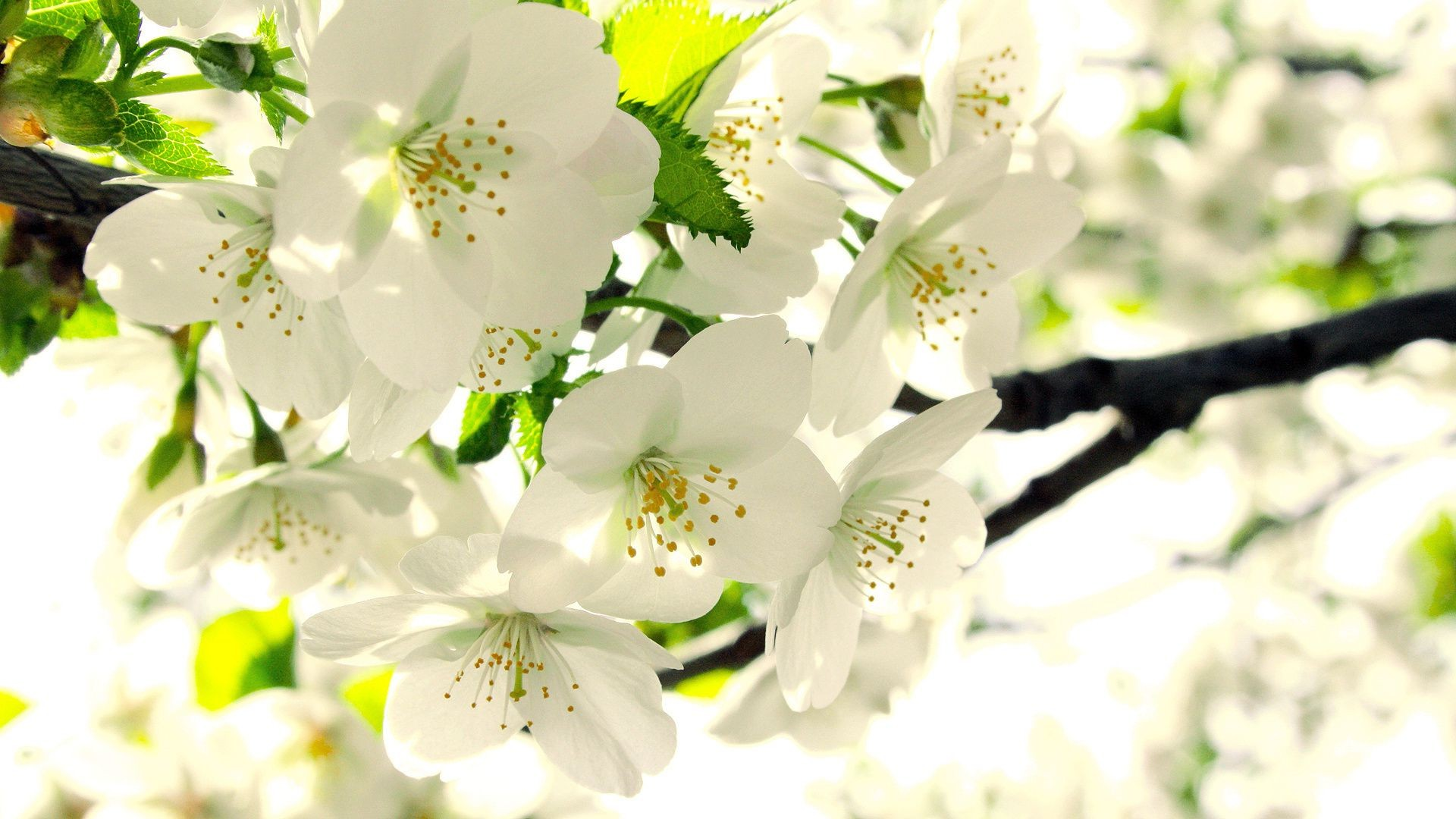 дерево, вишня, цветы, белые онлайн