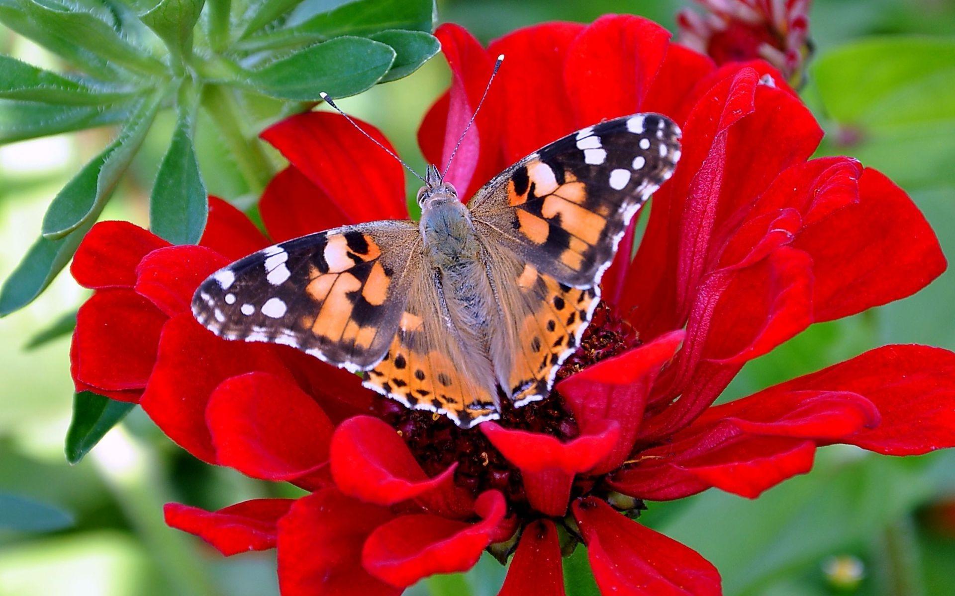 Фото красивых бабочек на цветах бесплатно