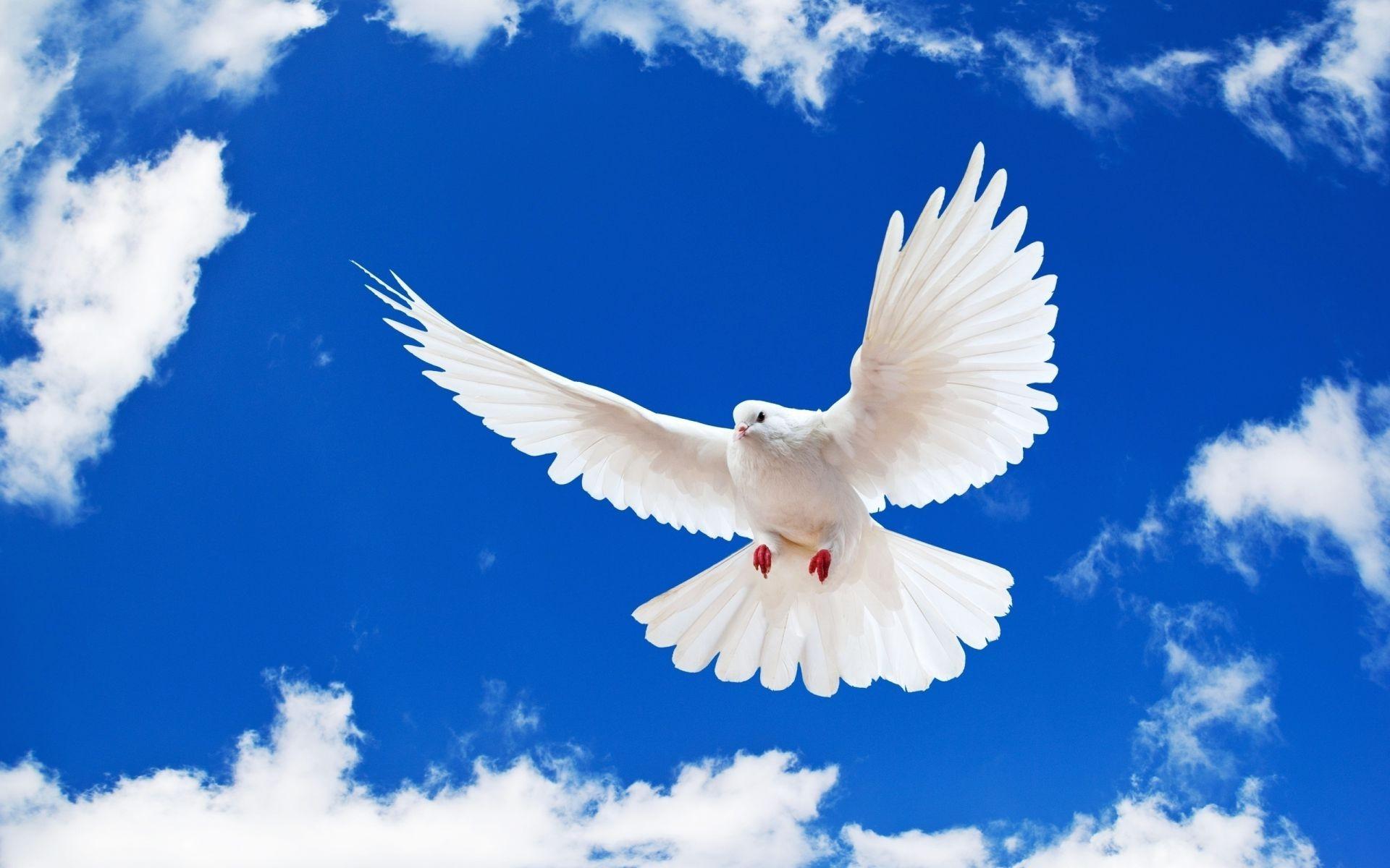 White dove background