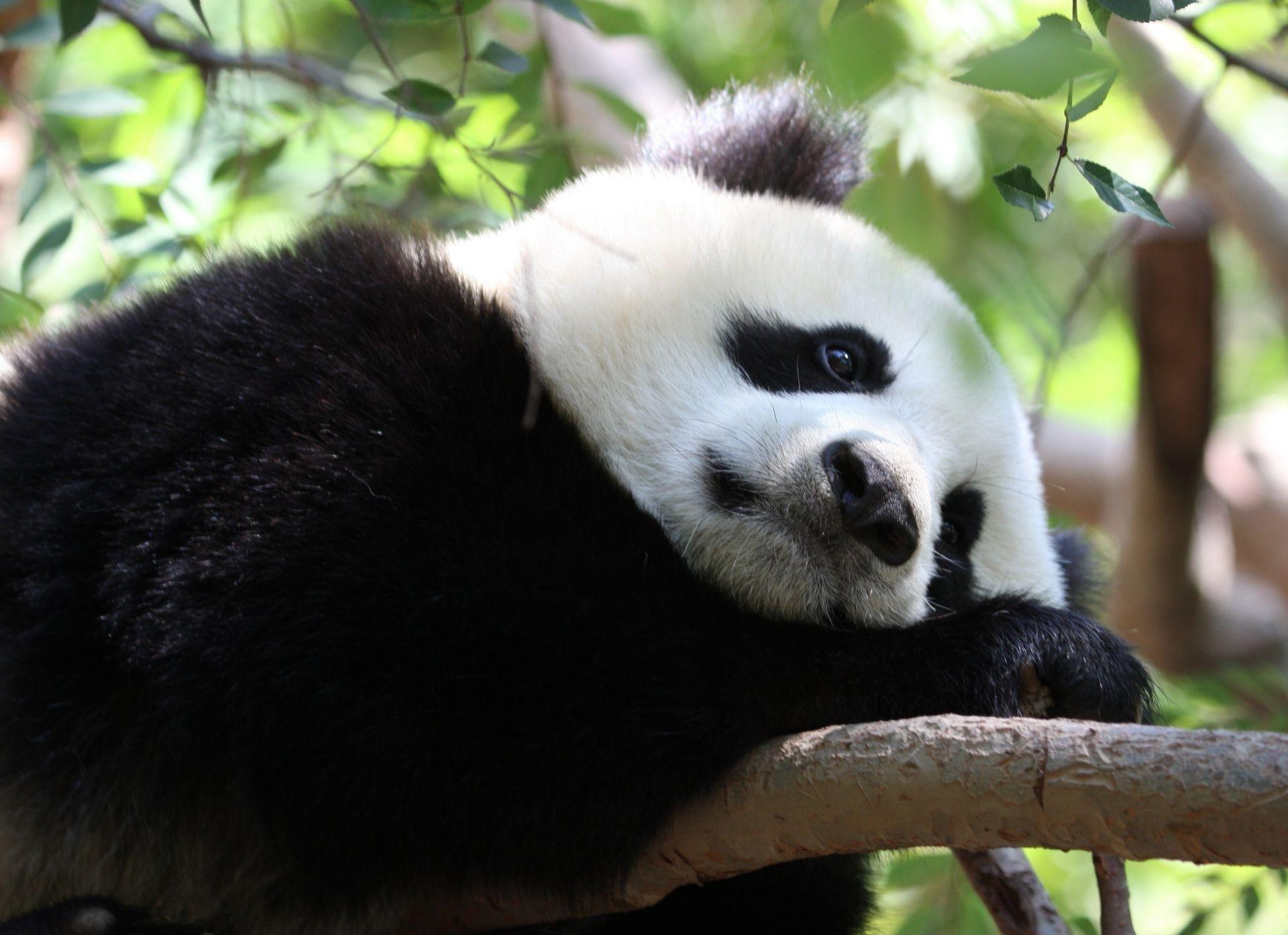 Грустная панда фото 5