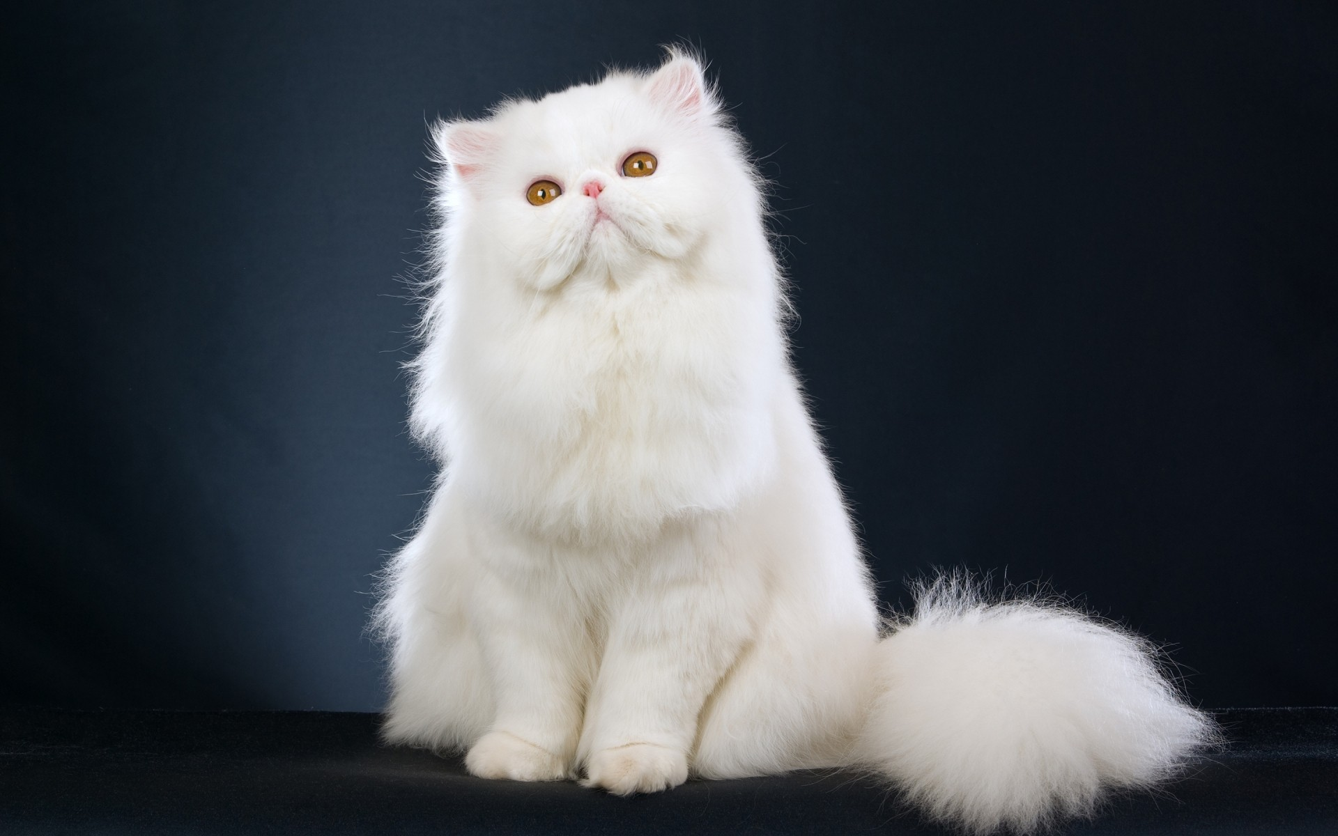 Картинки на рабочий стол кошек белых