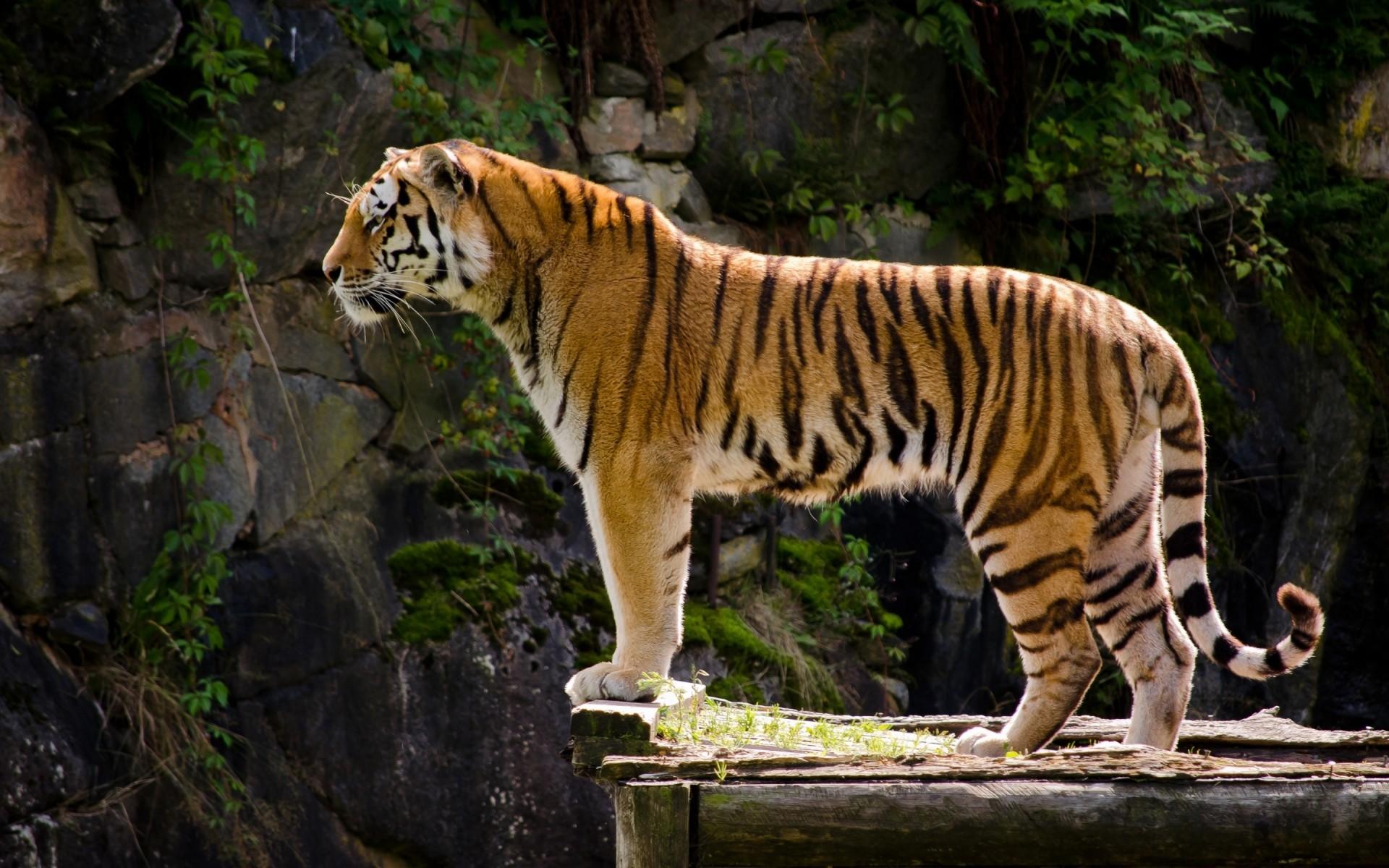 Картинки с тиграми