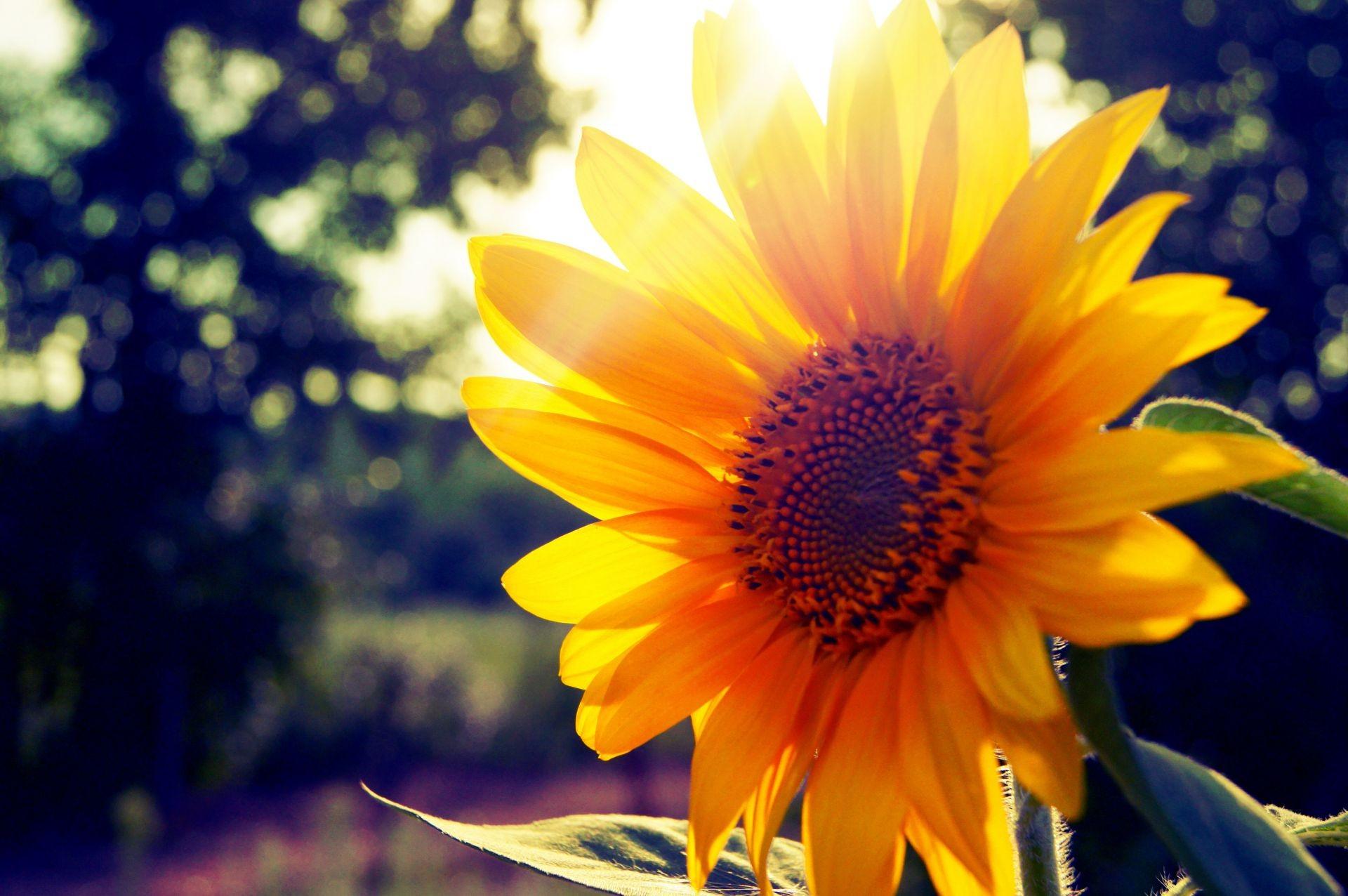 природа цветы подсолнечник  № 2671882 бесплатно