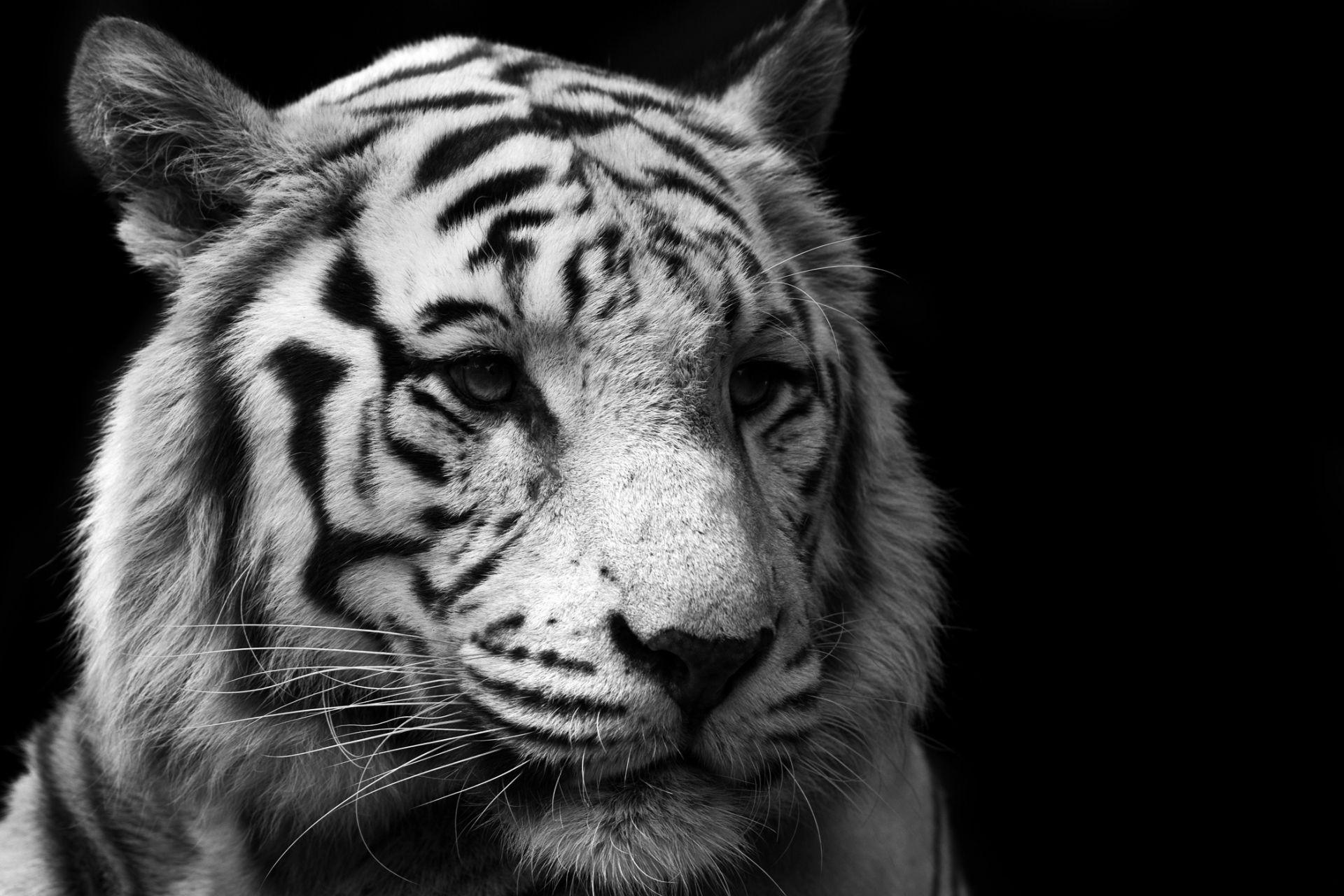 tiger white. Black Bedroom Furniture Sets. Home Design Ideas