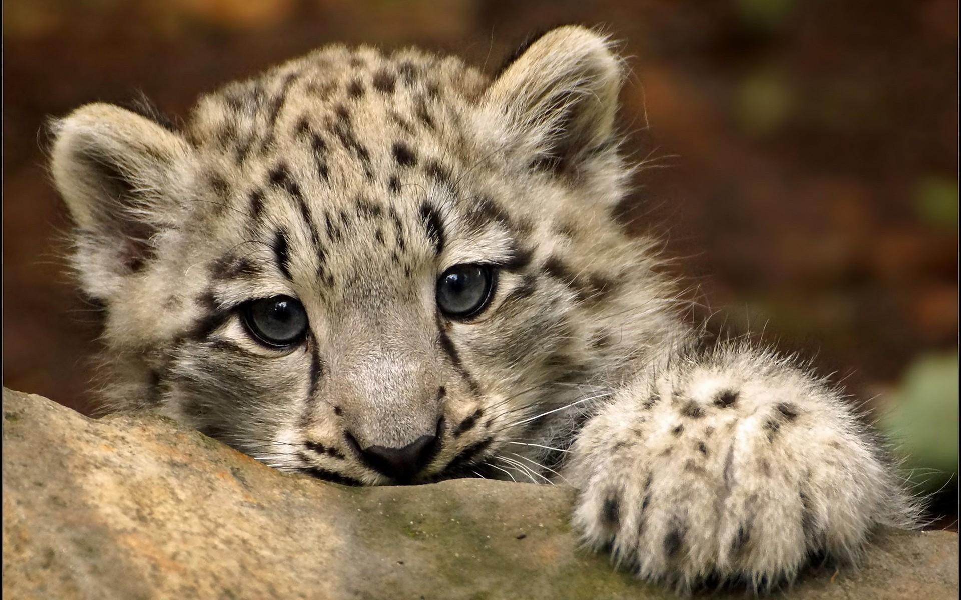 картинки на рабочий стол котята леопарда словам женщины, угрожают