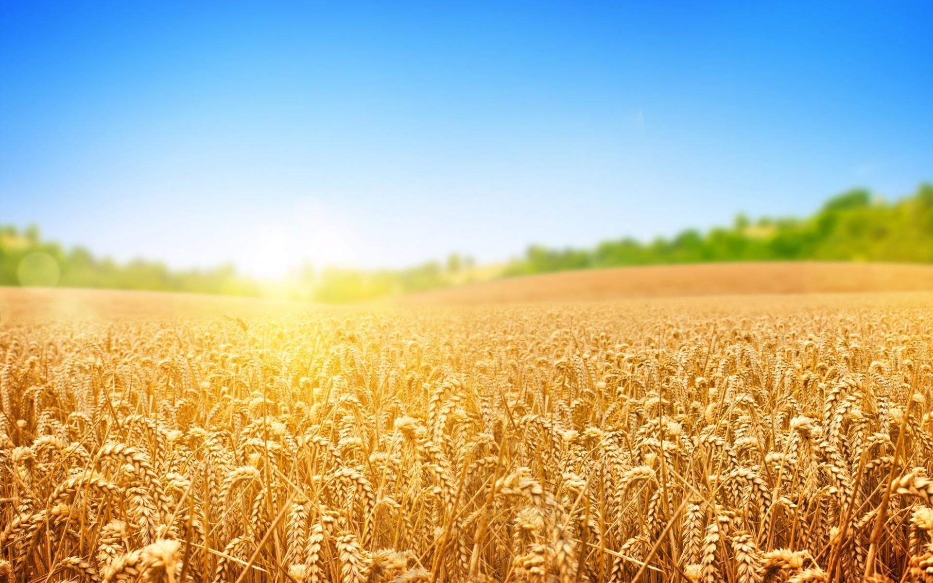 Картинки с пшеницей и рожью, надписью