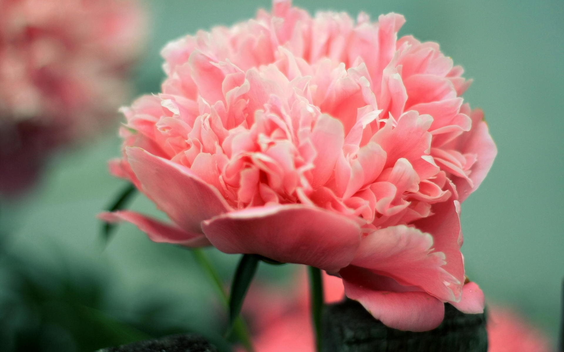 Картинки цветов пионы, стиха