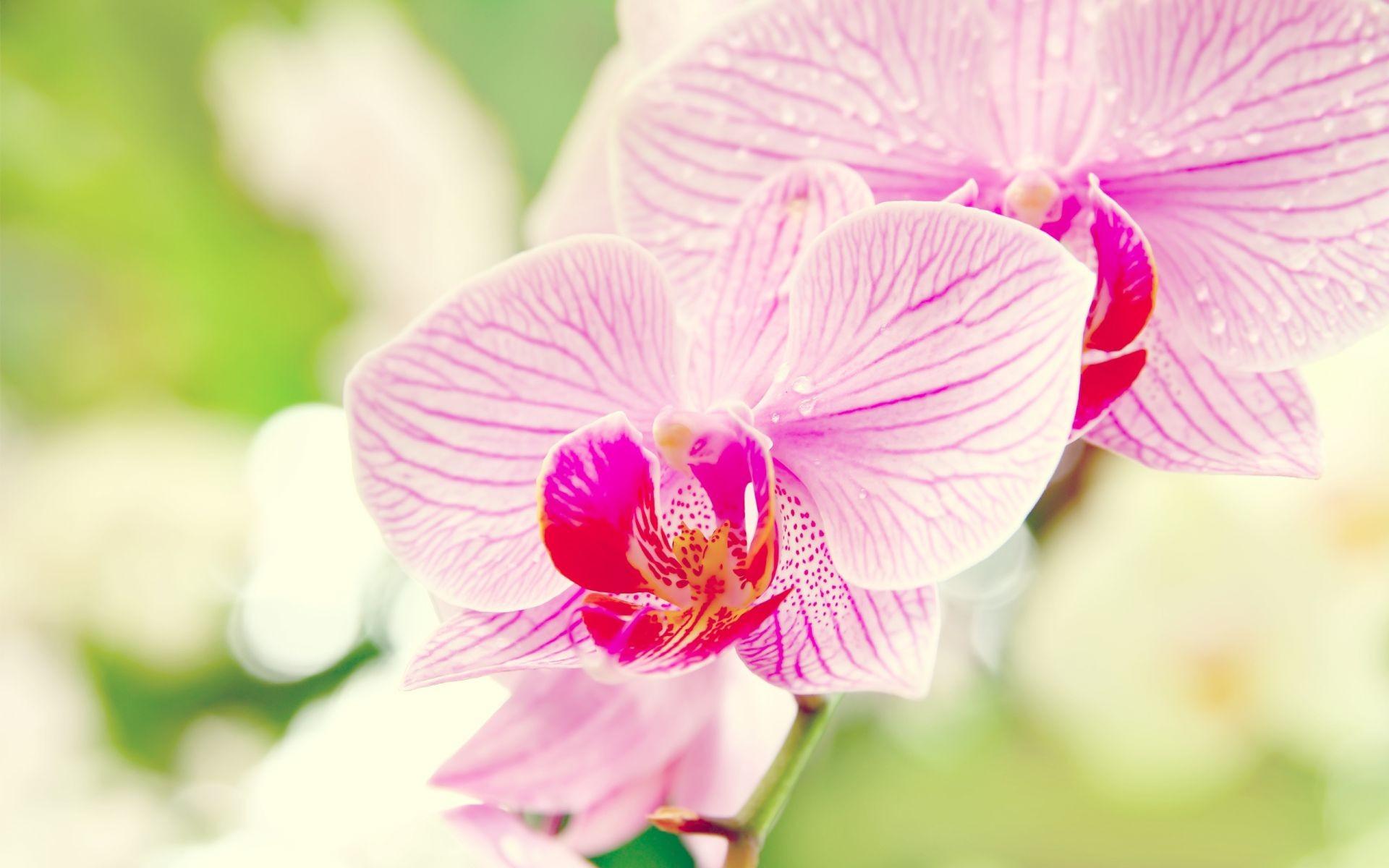 природа цветы белые орхидея nature flowers white Orchid без смс