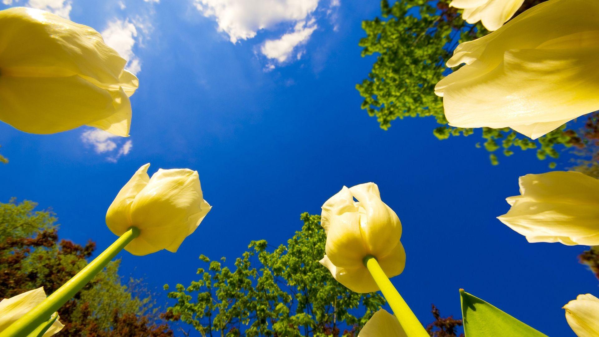 природа цветы тюльпны желтые поле загрузить