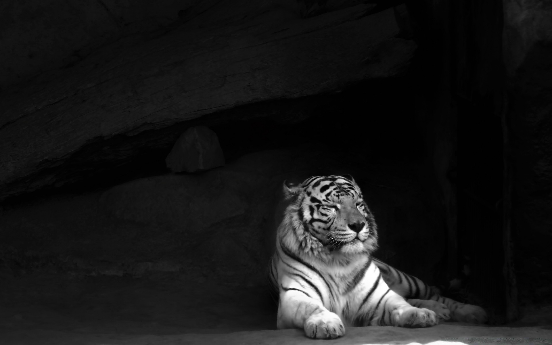 картинки на телефон черно белые тигр фотографы специализируются