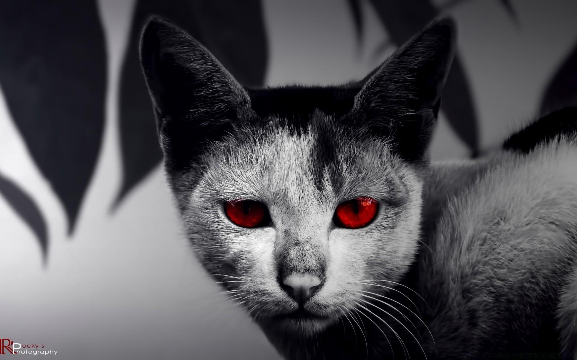 для картинки на рабочий стол кошки черные злая пищу