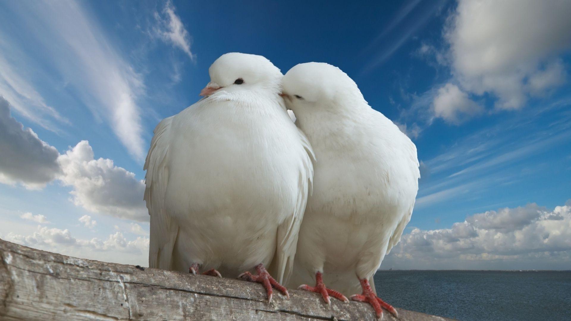 Обои фото голубей