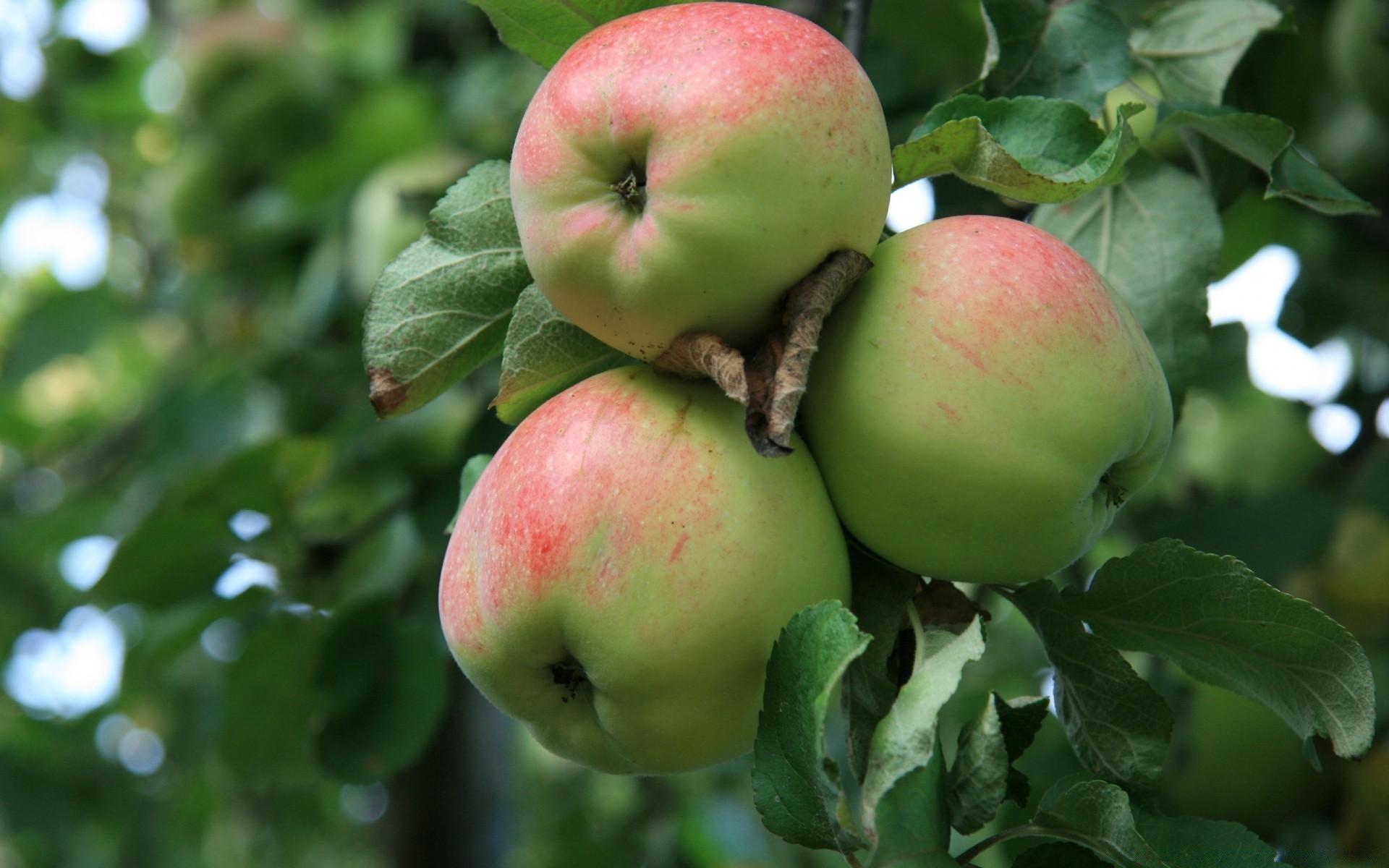 Яблоня с зелеными яблоками - обои на Андроид бесплатно.