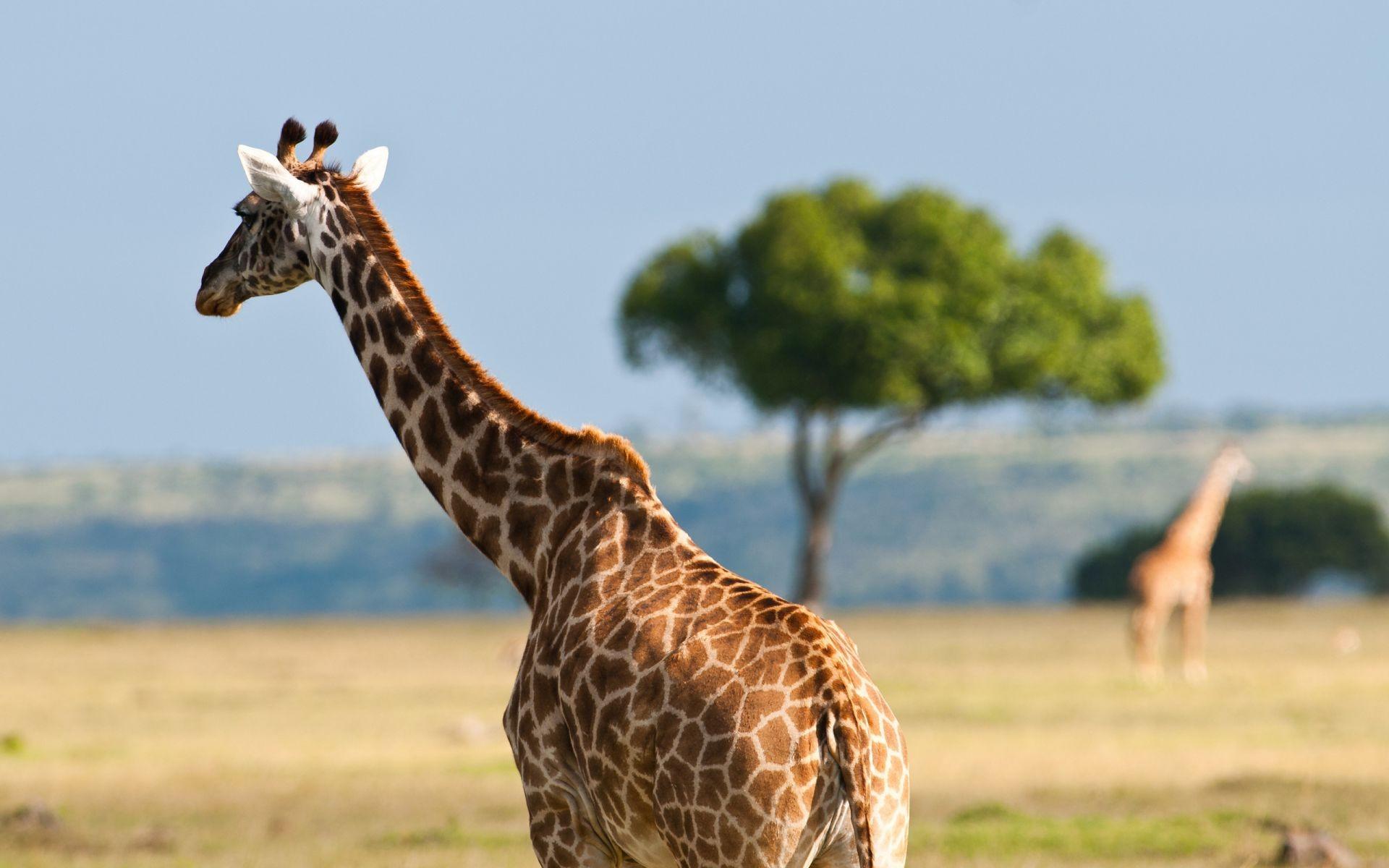 Жираф испугался  № 3895655  скачать