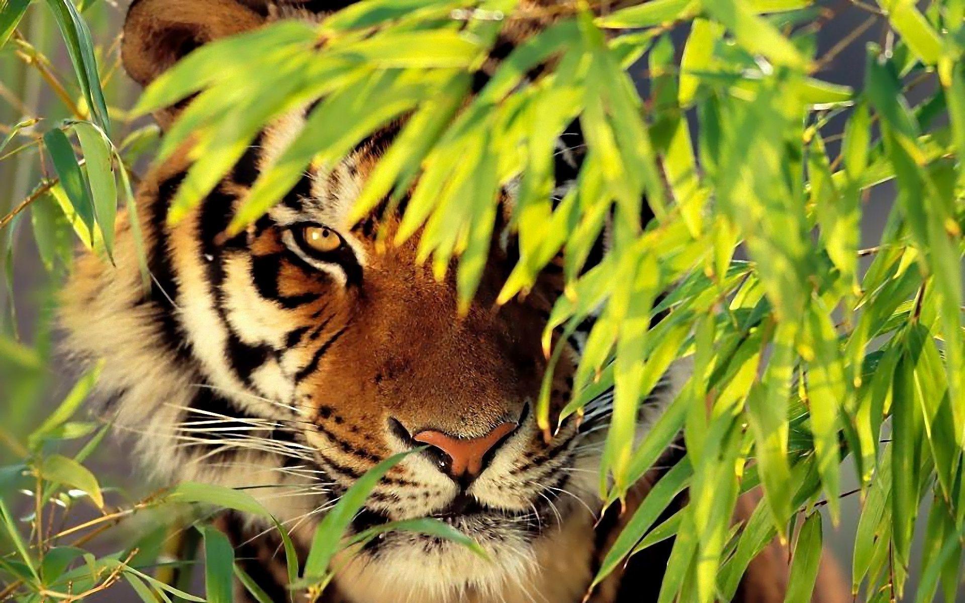 тигры трава природа  № 2011244 загрузить