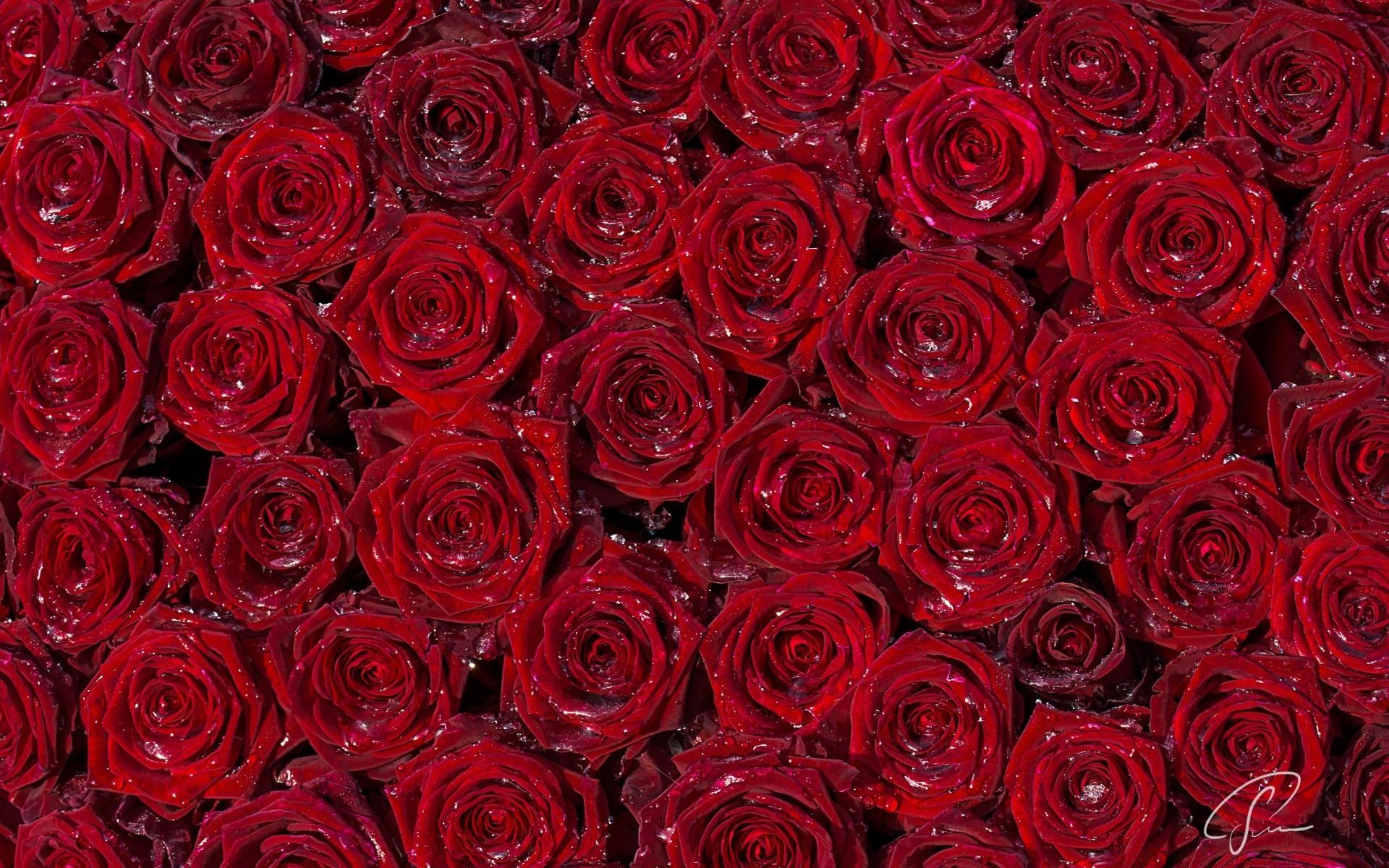 фотообои на рабочий стол цветы розы визиток