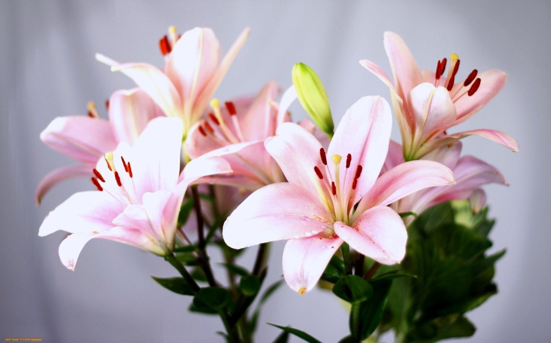 Цветы лилии лилейники скачать обои