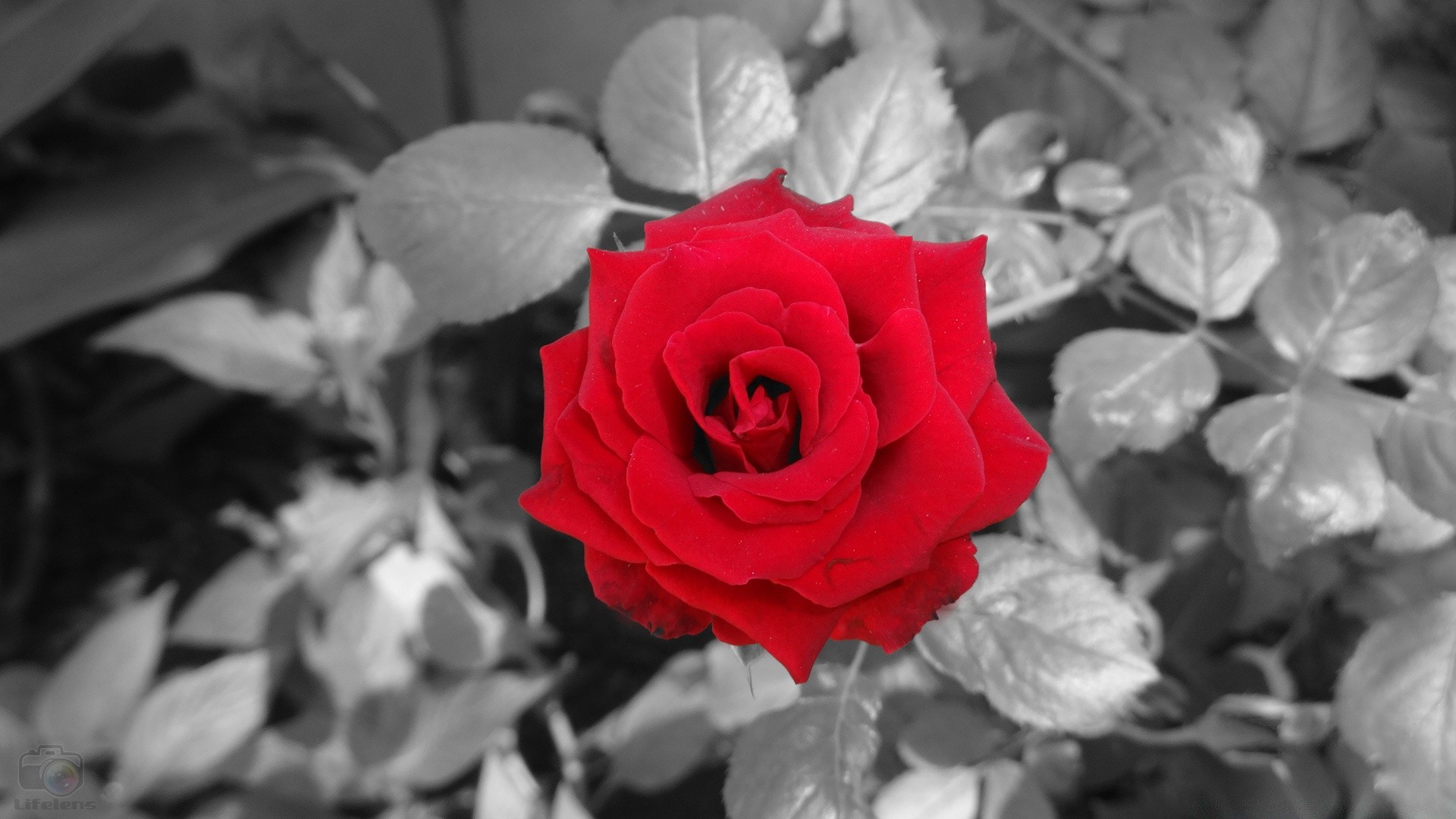 цветные фотографии с белыми и черными розами или