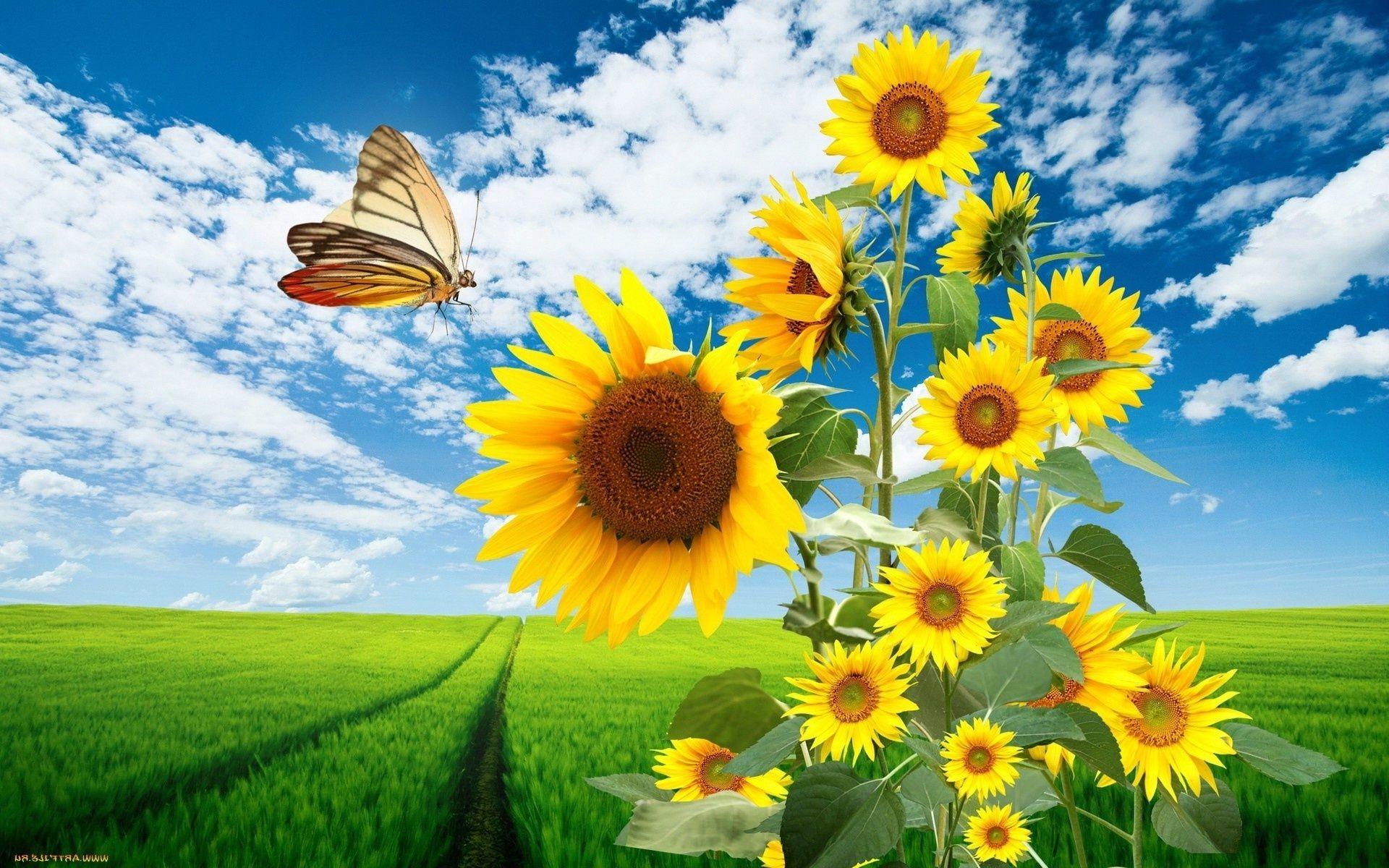природа подсолнечник цветы nature sunflower flowers  № 2672034 бесплатно