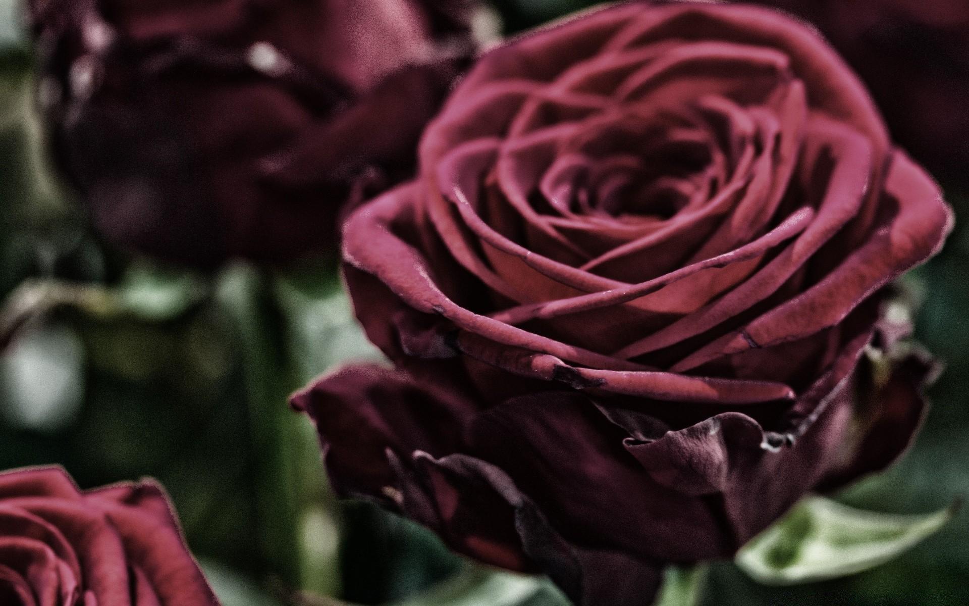 рамки картинки бархатными розами наводке свей первой
