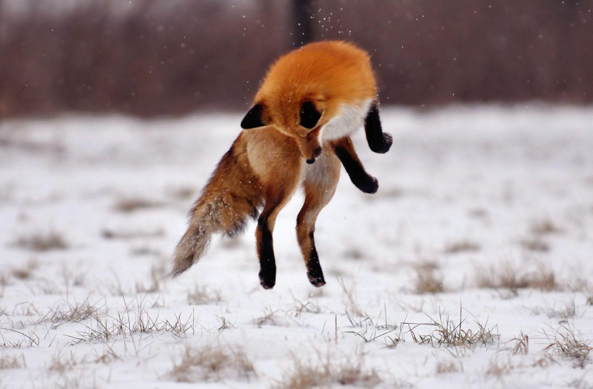 Зима лиса снег прыжок поле скачать