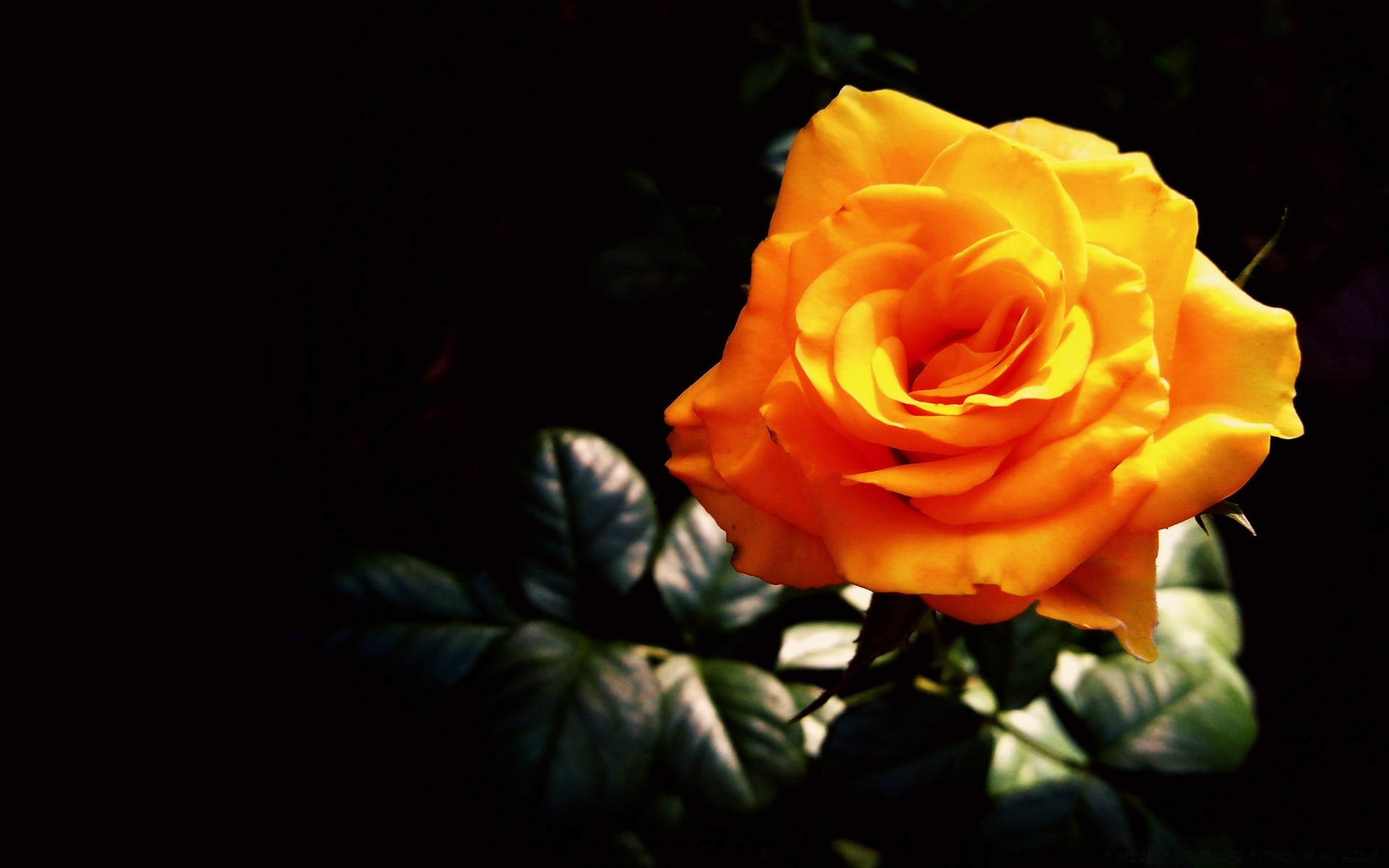 Картинки желтые розы на черном фоне, лет женщине