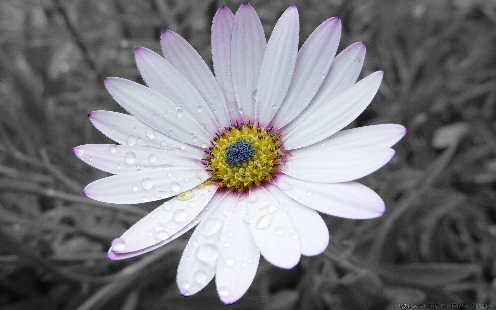 ромашки розовые белые chamomile pink white  № 1037984 загрузить